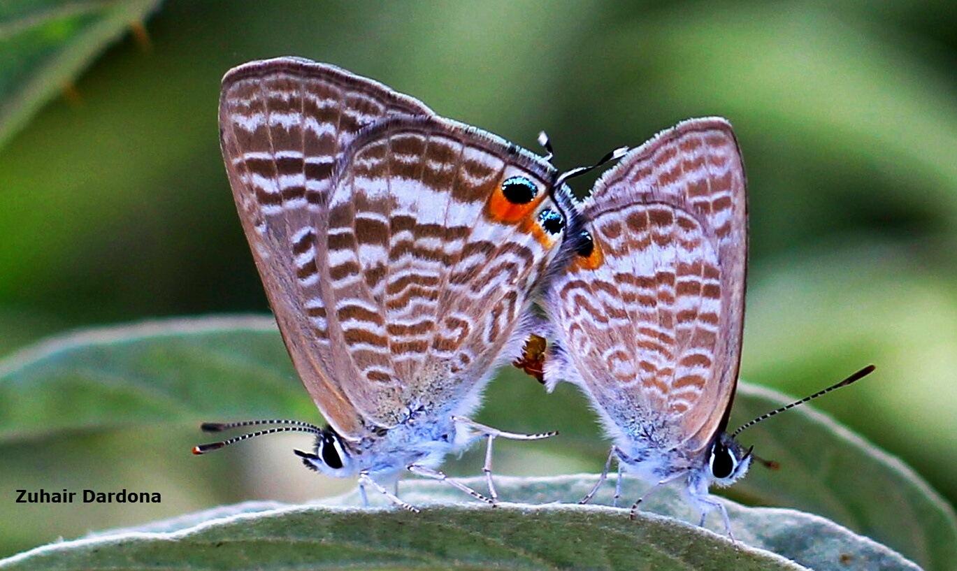 mating of butterflies by Zuhair Dardona
