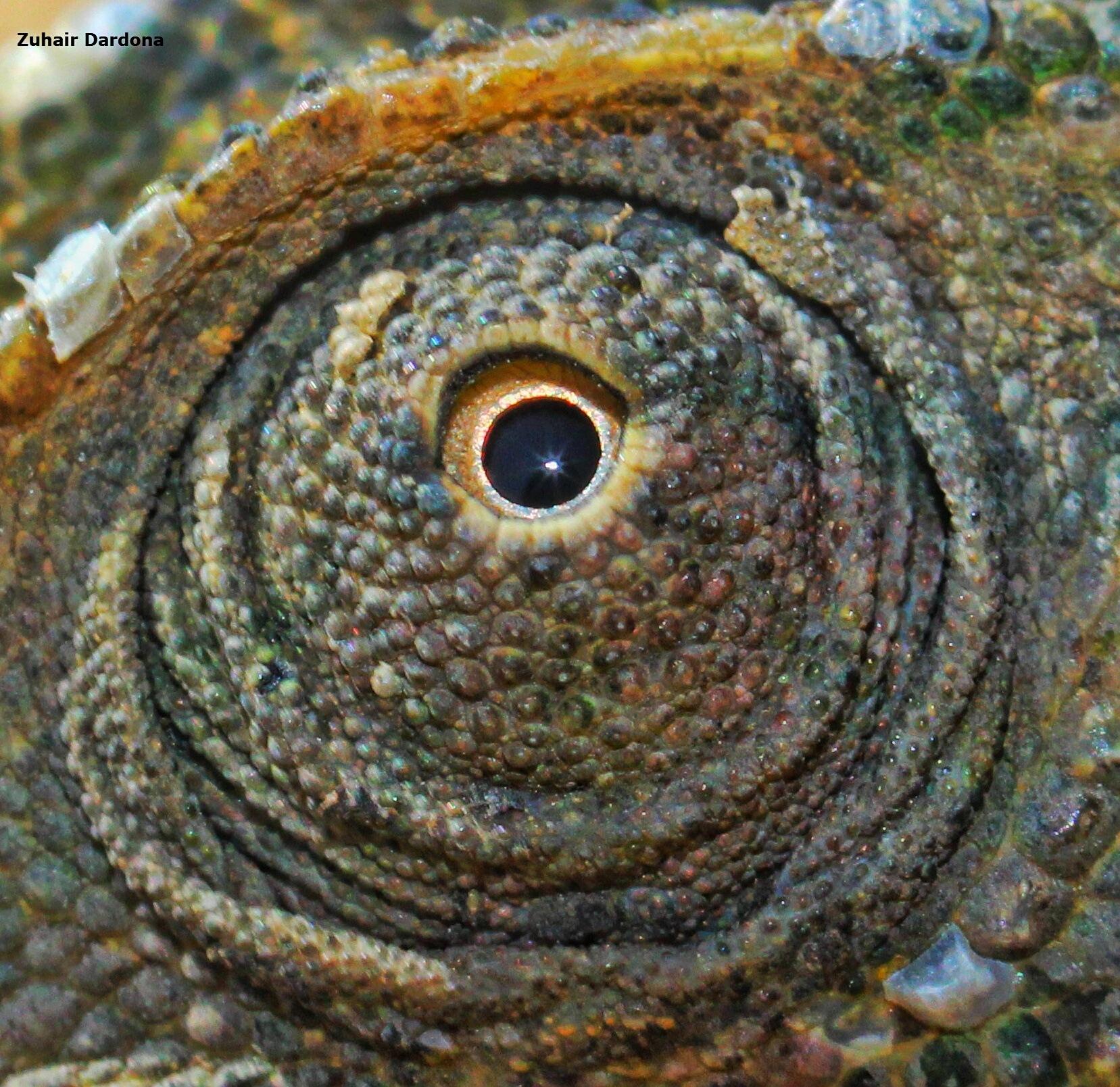 Eye of Chameleon by Zuhair Dardona