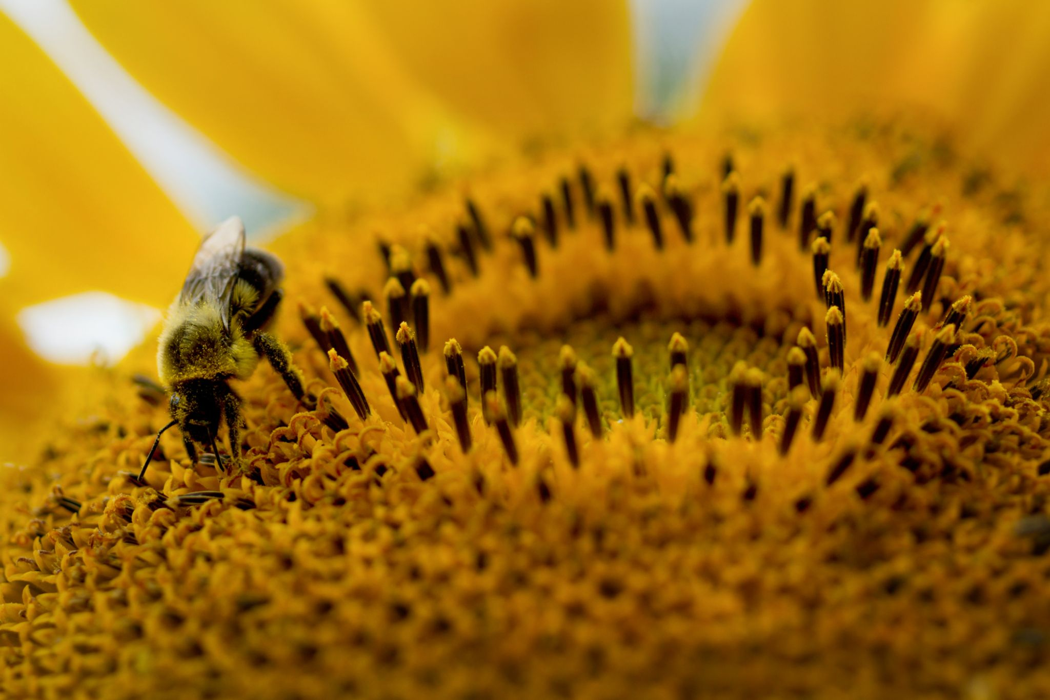 Bee on a Sunflower by dianeholmanphotography