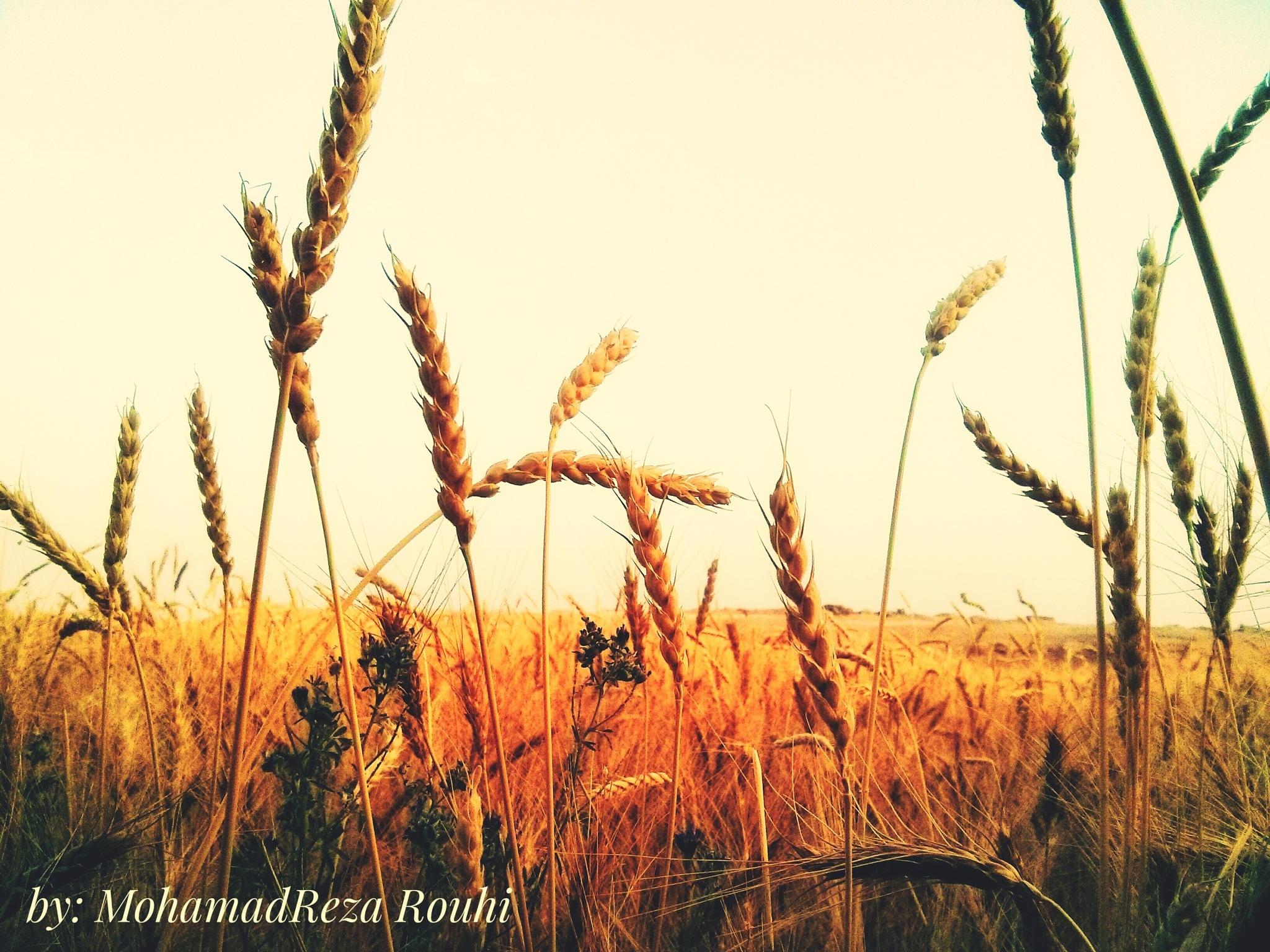 wheat field by MohamadReza