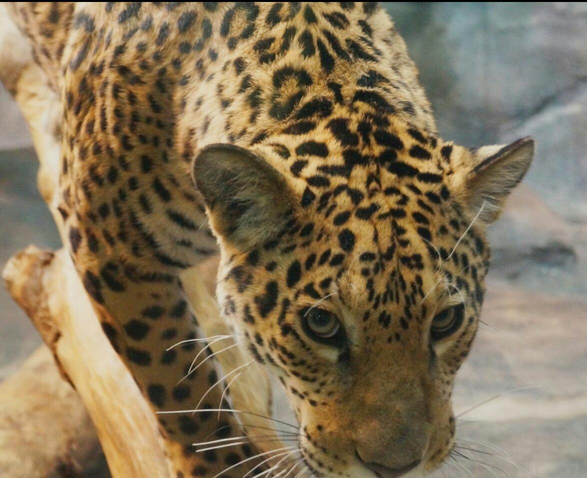 Jaguard by Mylenecorriveau