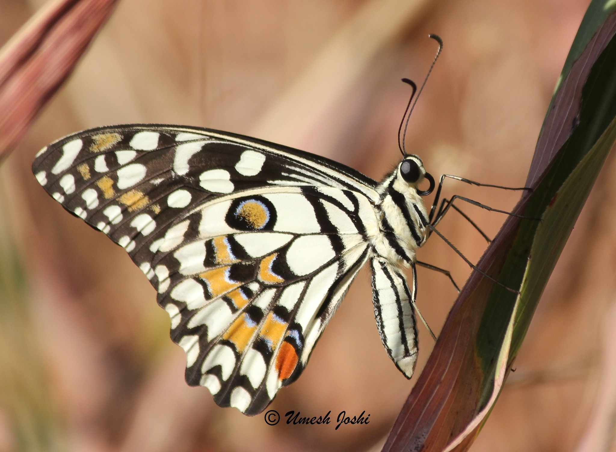 Common Lime Butterfly by Umesh Joshi