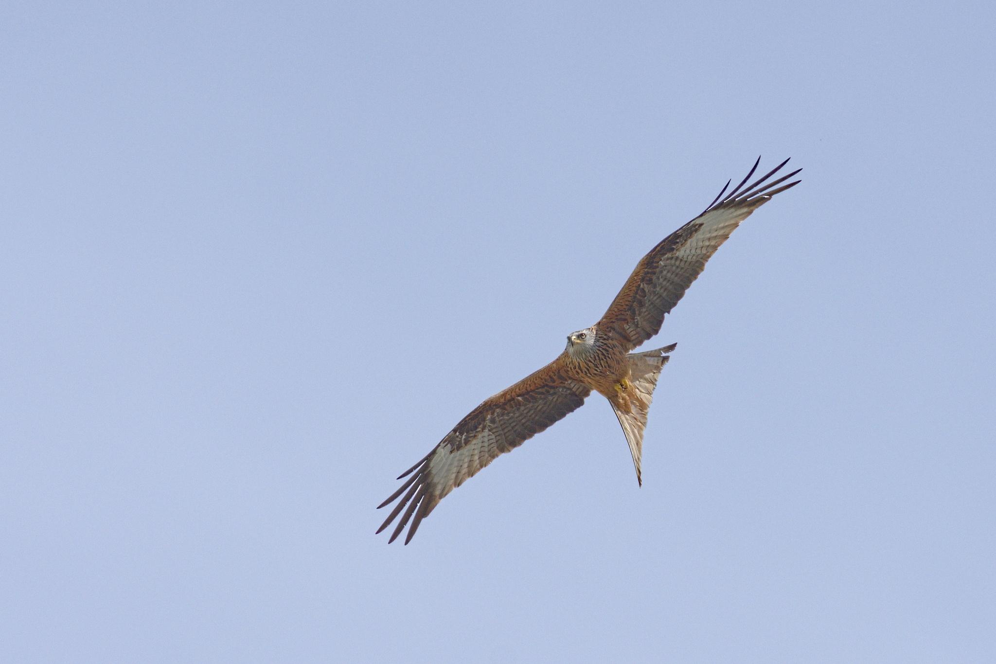 Milvus milvus (red kite) by Emiliani Spinelli Diego