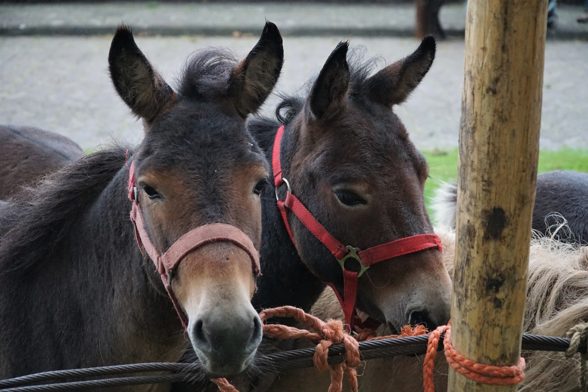 Pony market by Herman Swart