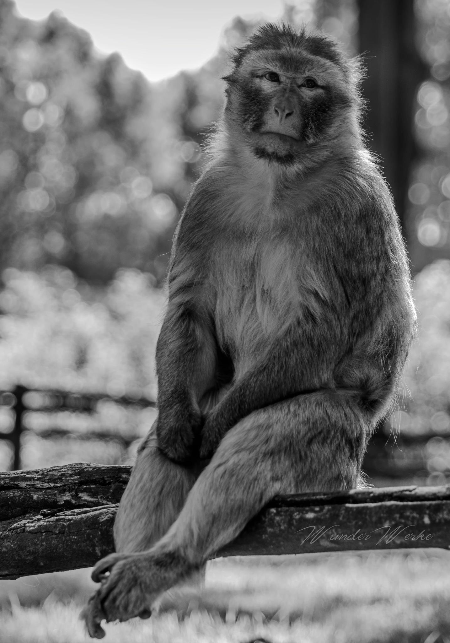 Ape by Wunderwerke.design