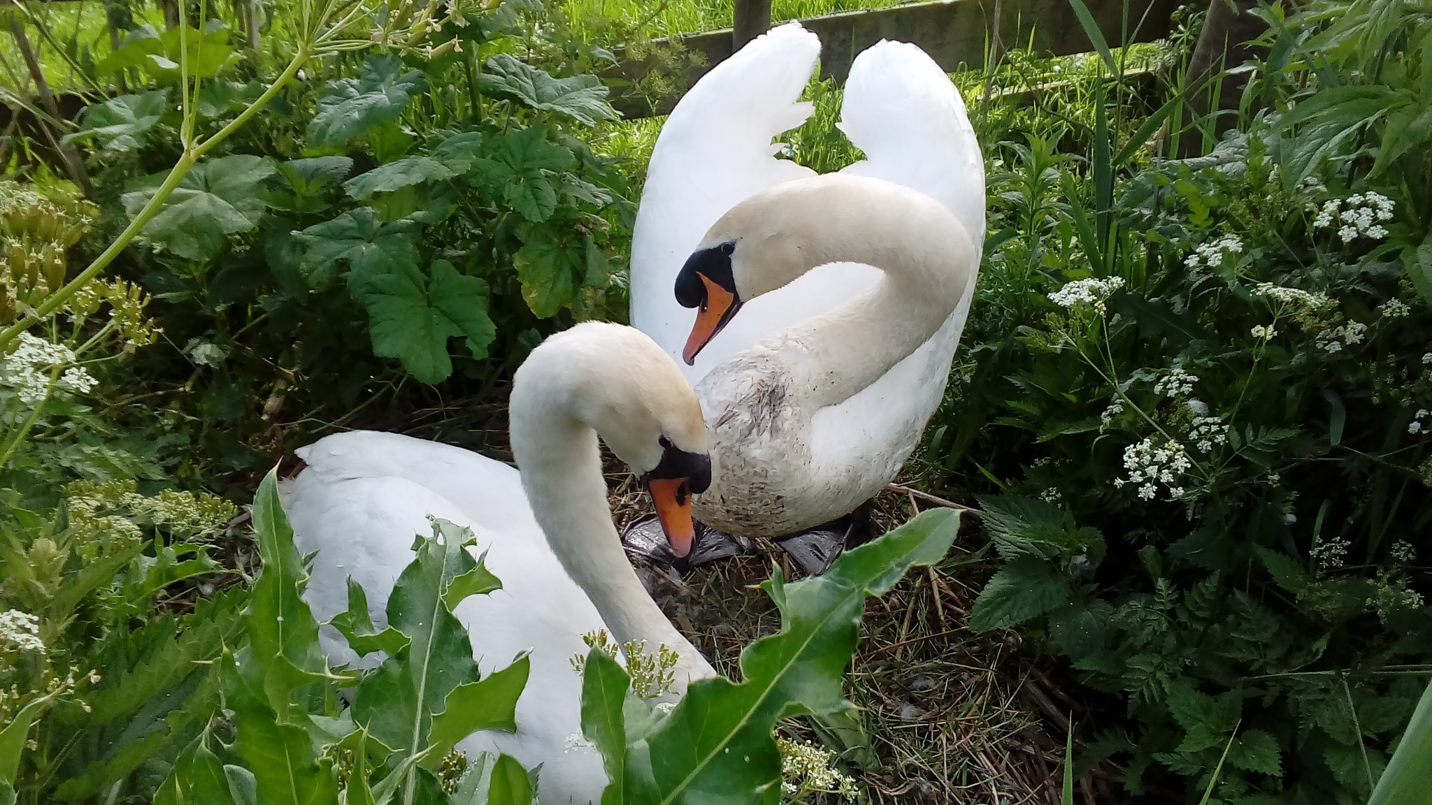 Swans greeting eachother by Angelica Ars