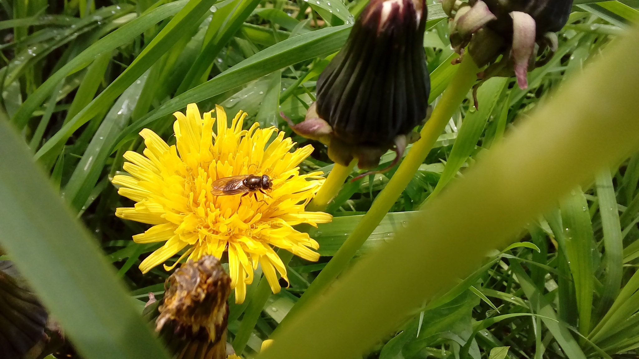 Wasp on dandelion by Angelica Ars
