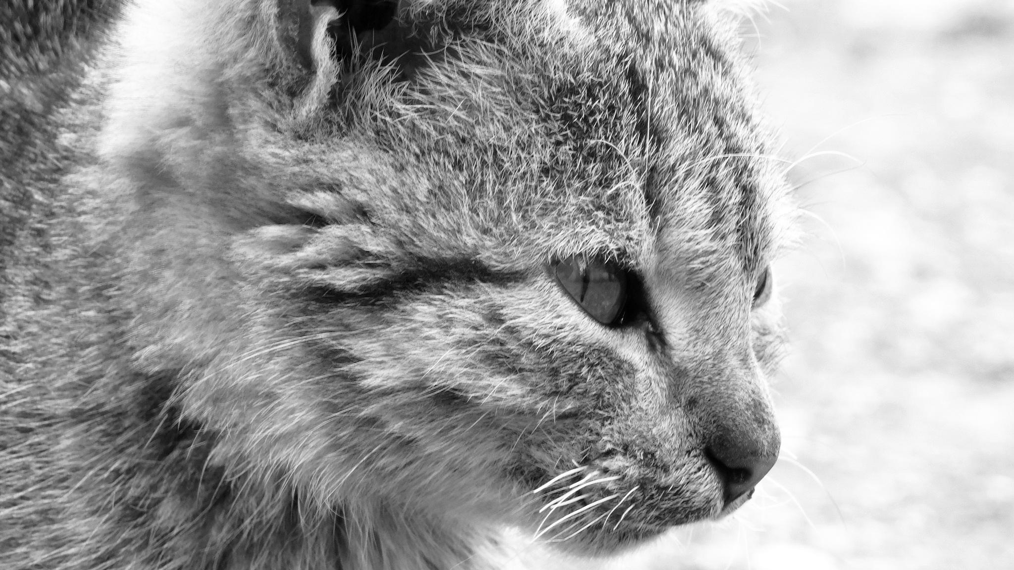 cat portrait by adil bassel