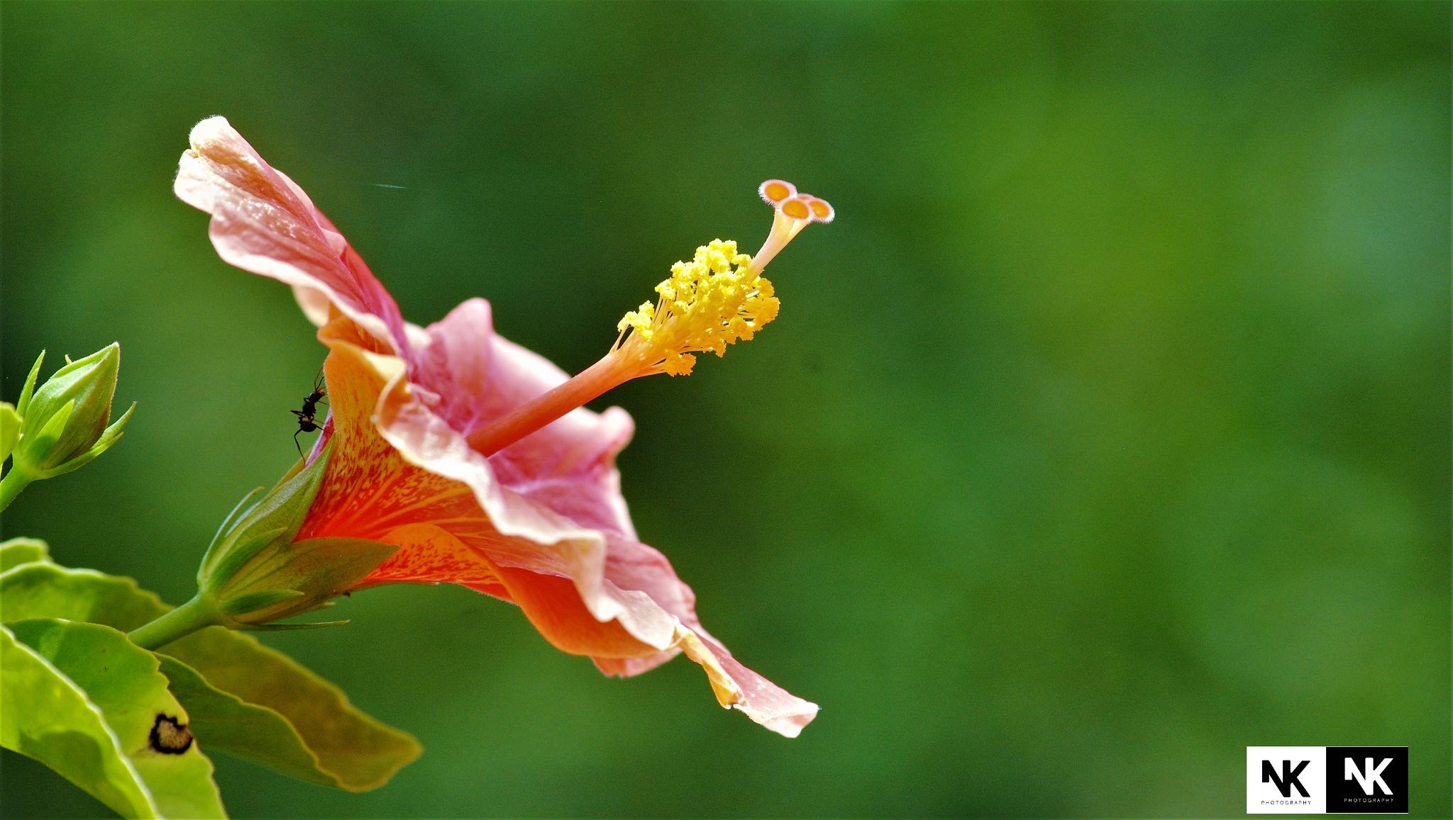 Hibiscus by Nithin Kumar