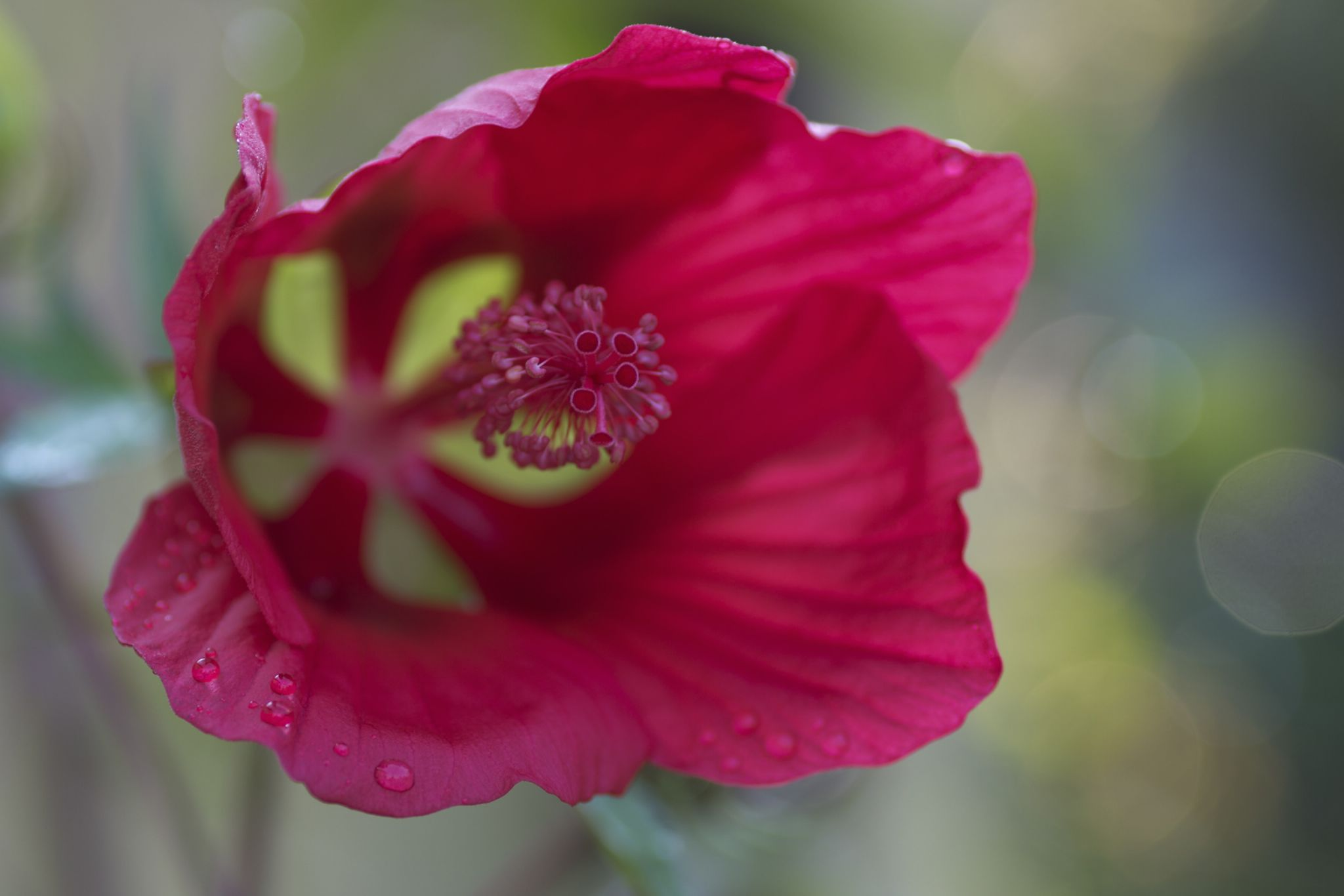 Red Ibiscus by albertoc77