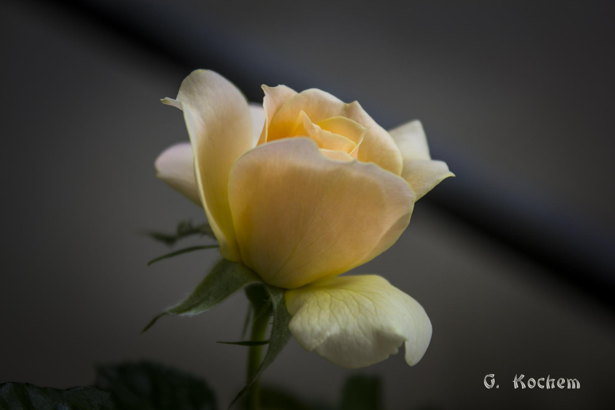 Pequena Rosa em Detalhe by gkochem