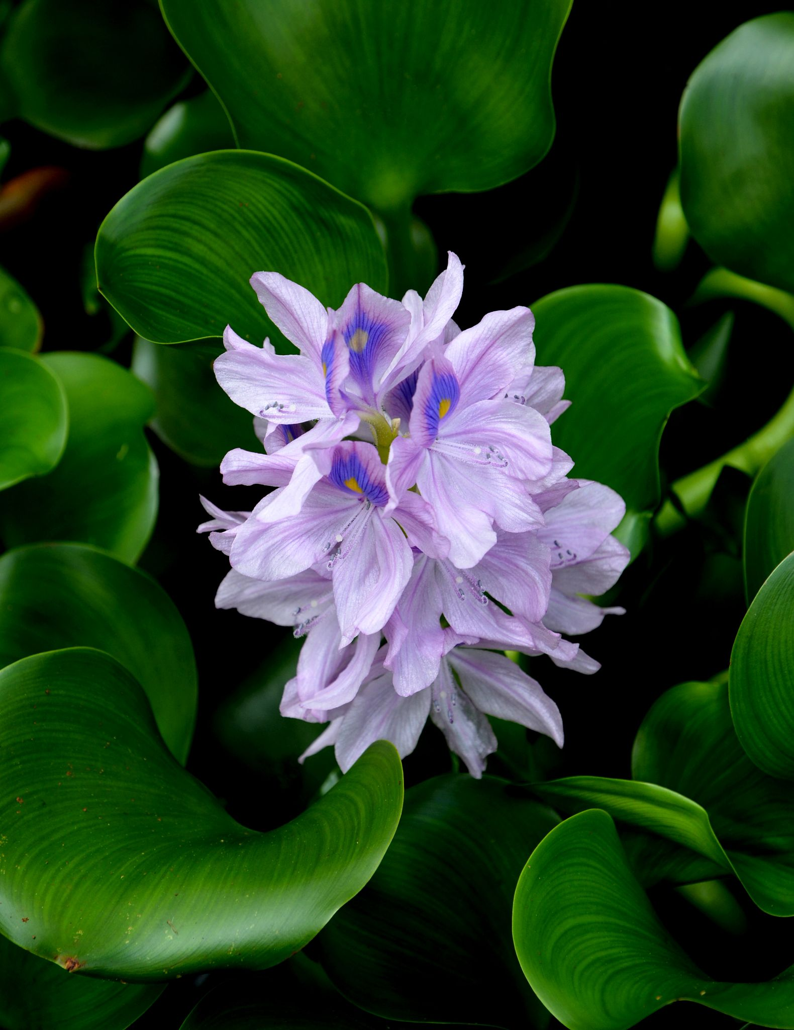 Water hyacinth at Heritage Gardens, Maui by Bruce Wheeler