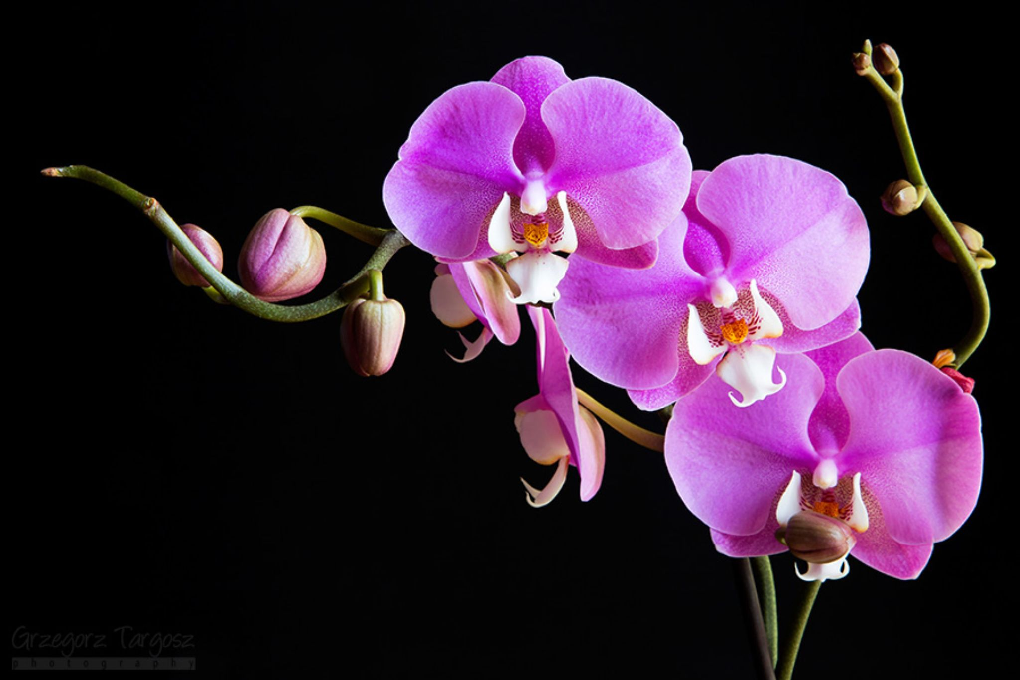 Orchids by gregta