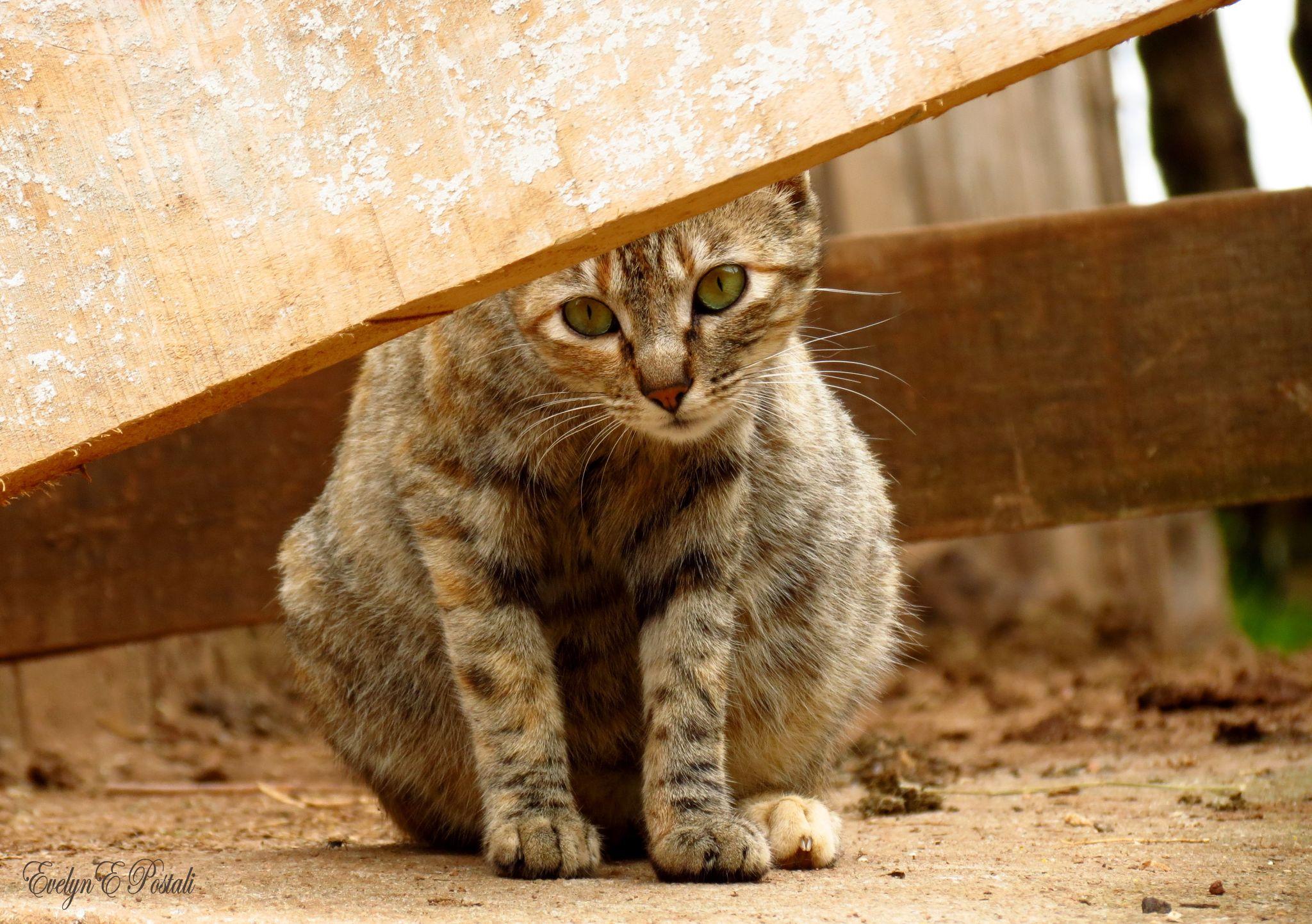 Gato by Evelyn Postali