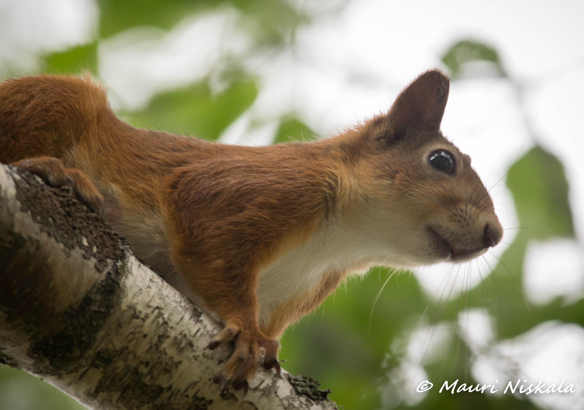 Squirrel on tree...! by Mauri Niskala