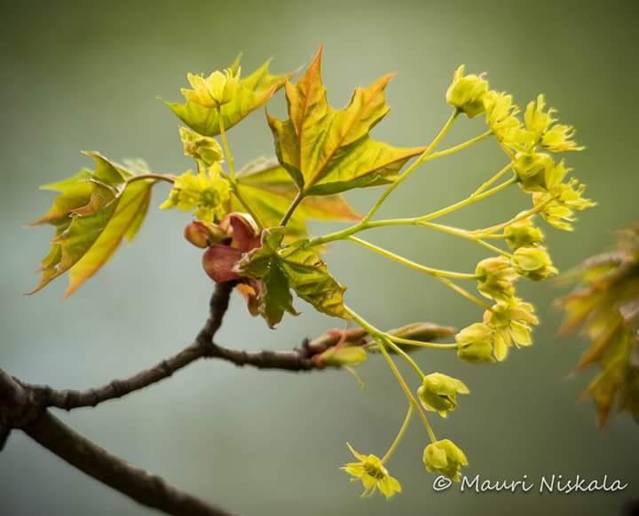 great maple flowers...! by Mauri Niskala
