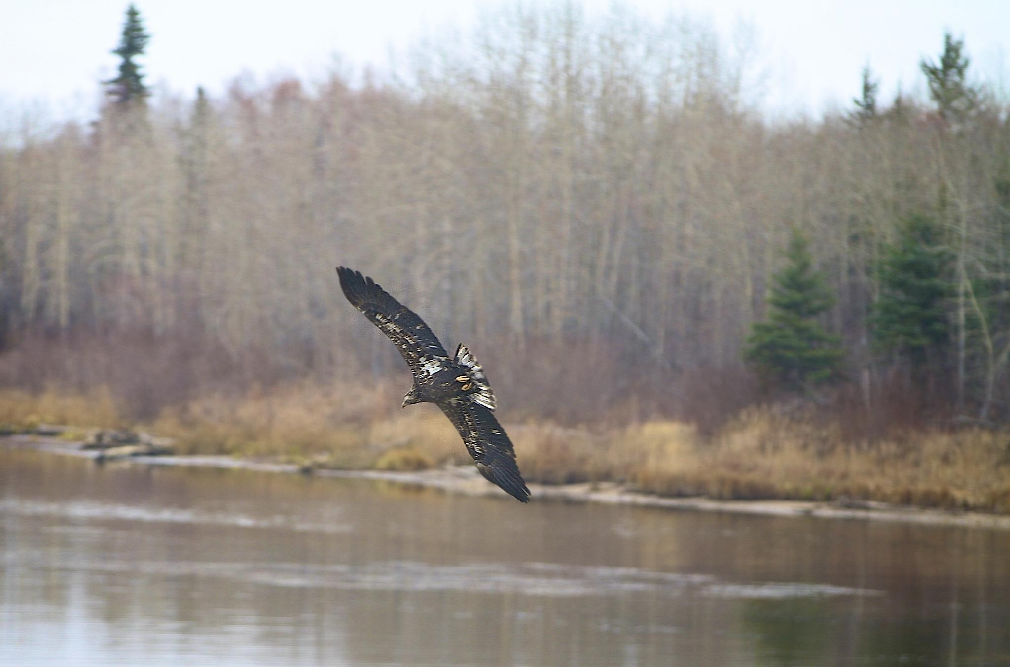 Photo in Nature #bird #fly #free #osprey #river #trees