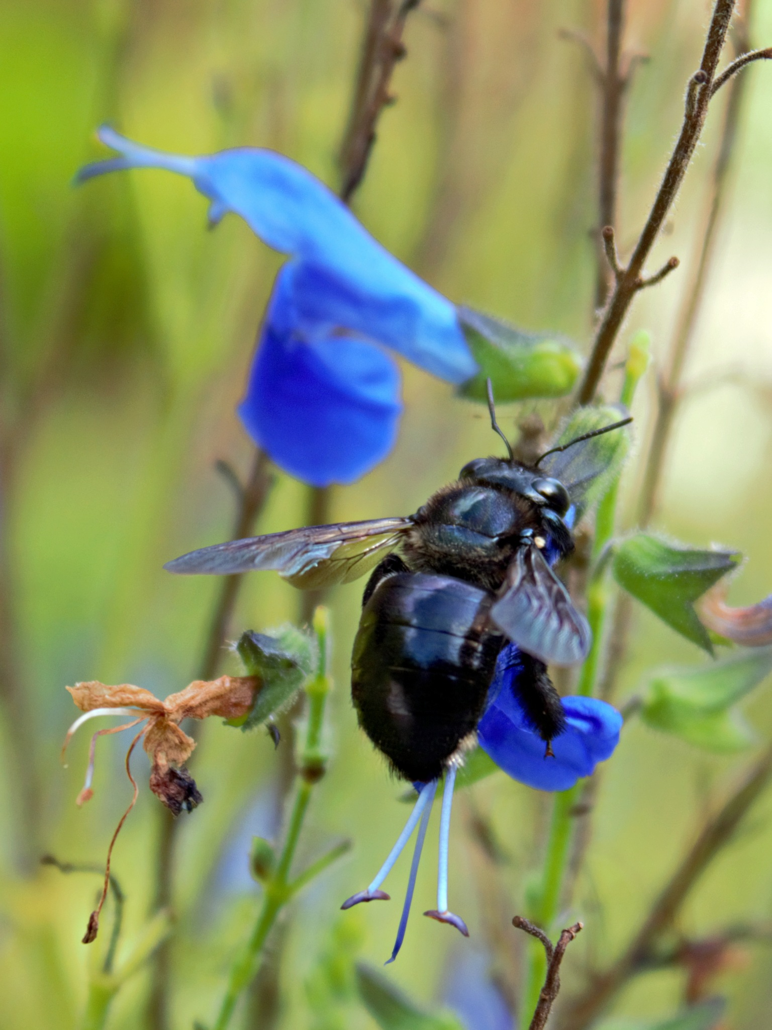 Carpenter Bee by Jolie Perez