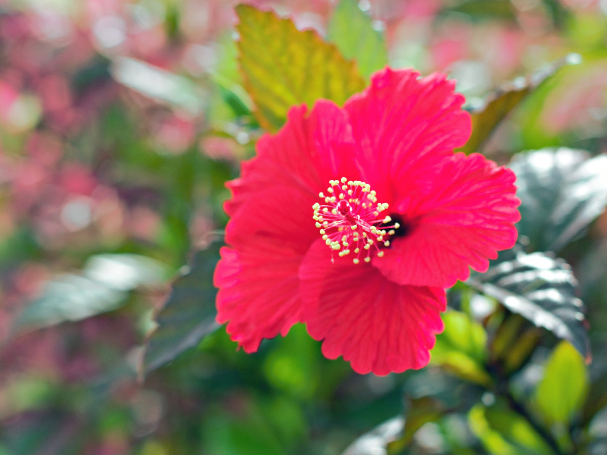 Red Hibiscus  by Jolie Perez