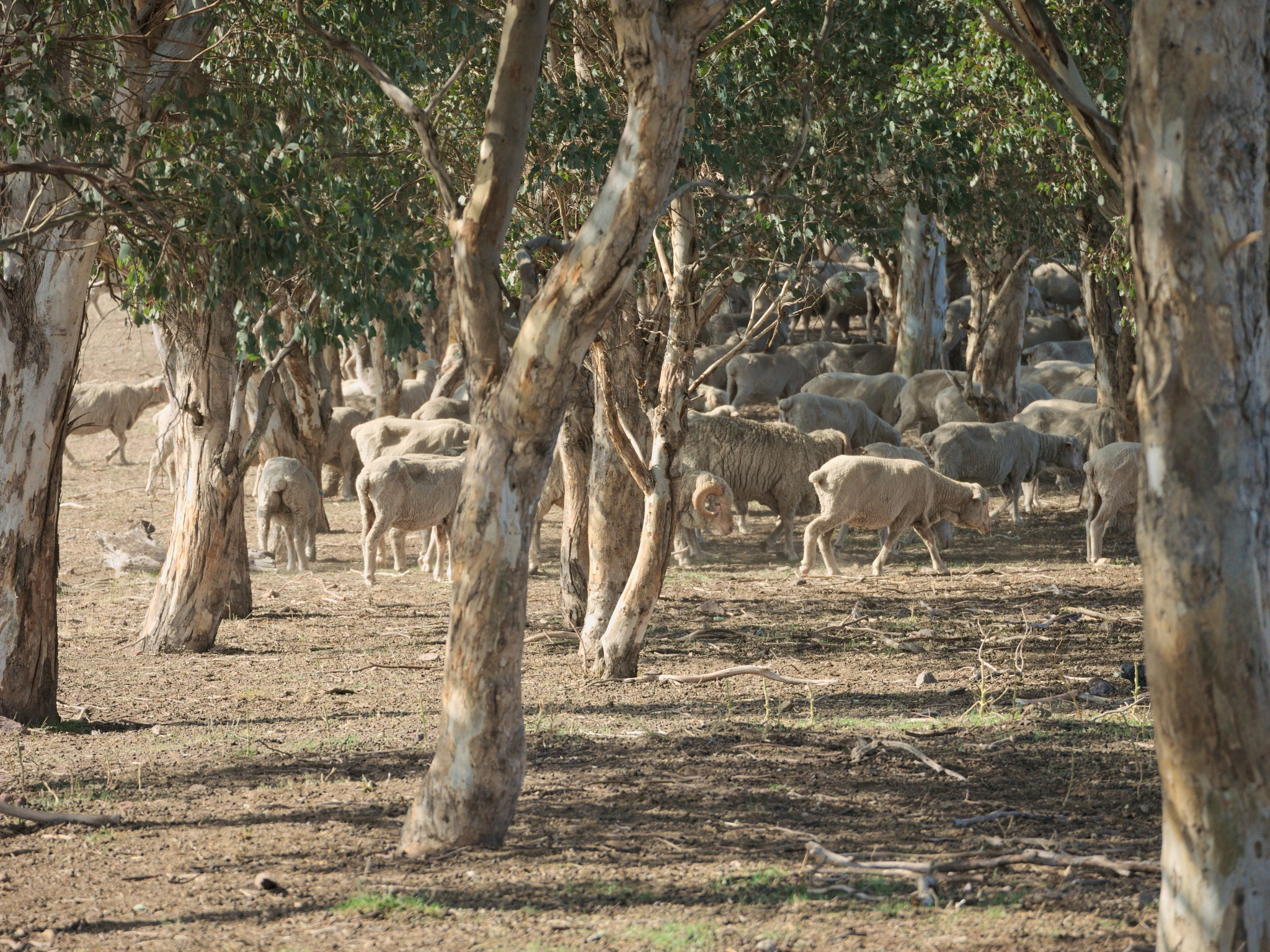 Sheep in shade by TonyG