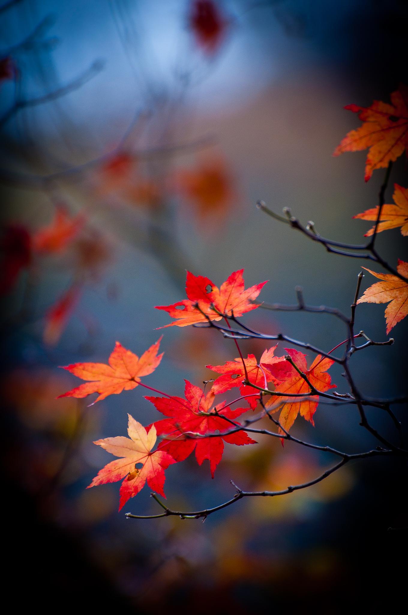 Maples of Korea by Lee Jiun Jye