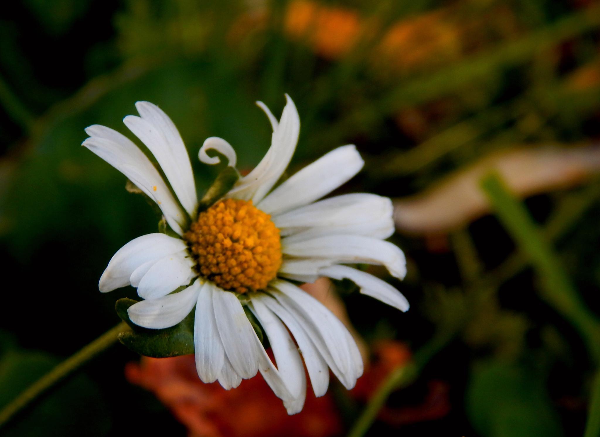 daisy by Nenad Milic