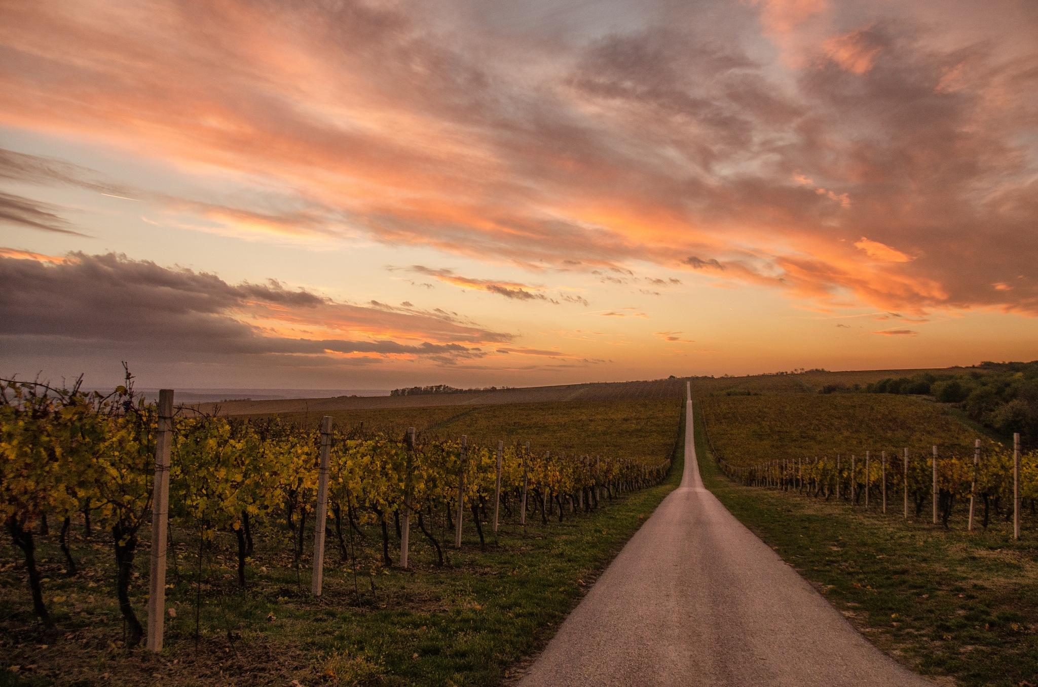 Gold vineyards of Baranja by Nenad Milic