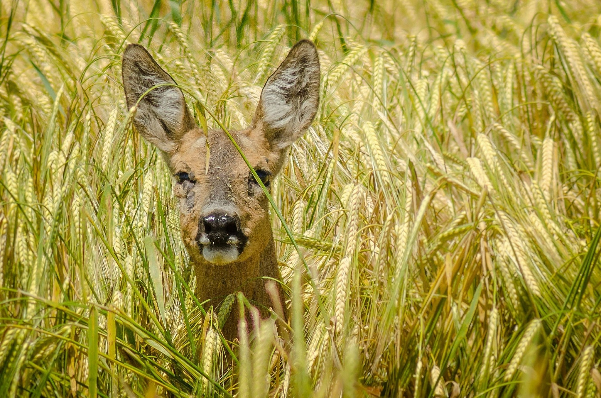 roe deer by Nenad Milic