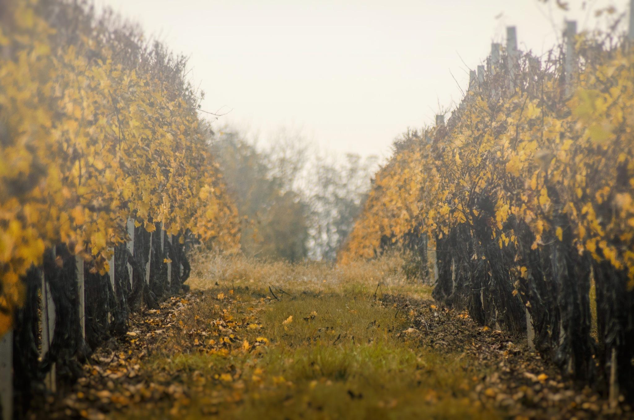 Vineyard in the mist by Nenad Milic