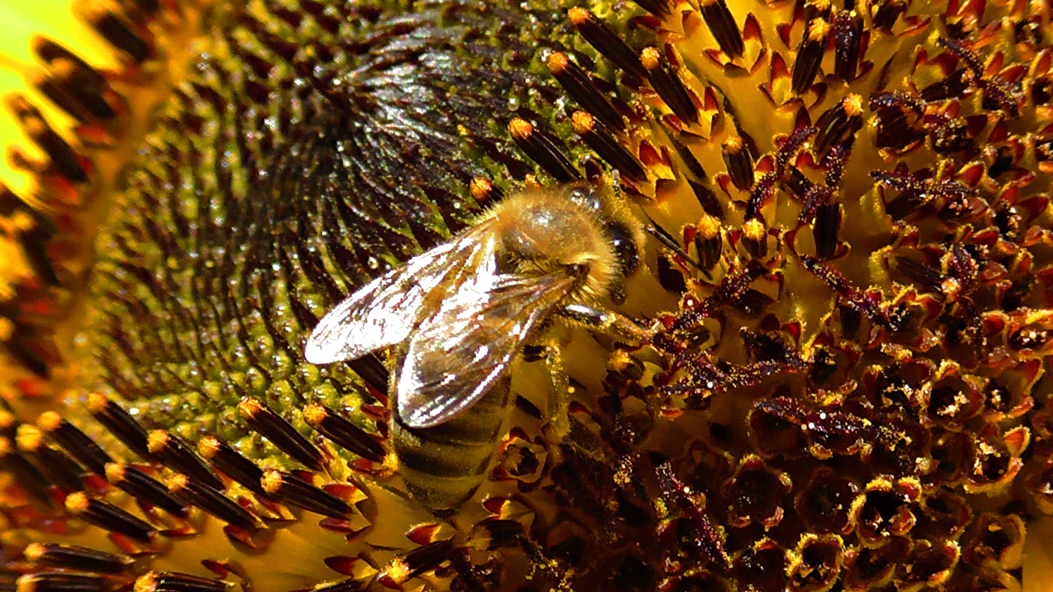 Bee andon the sunflower by evakalocsay