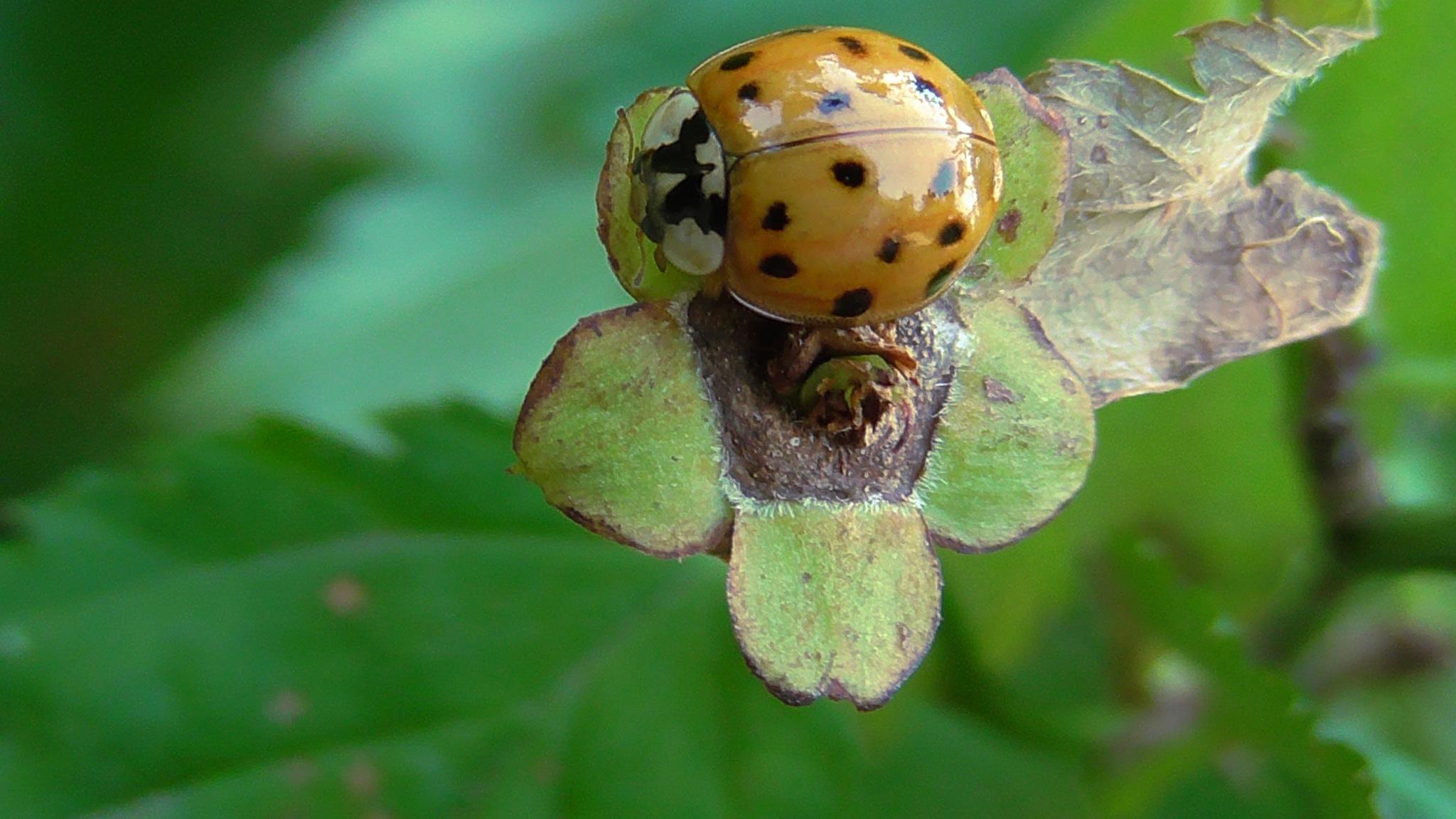 ladybug by evakalocsay