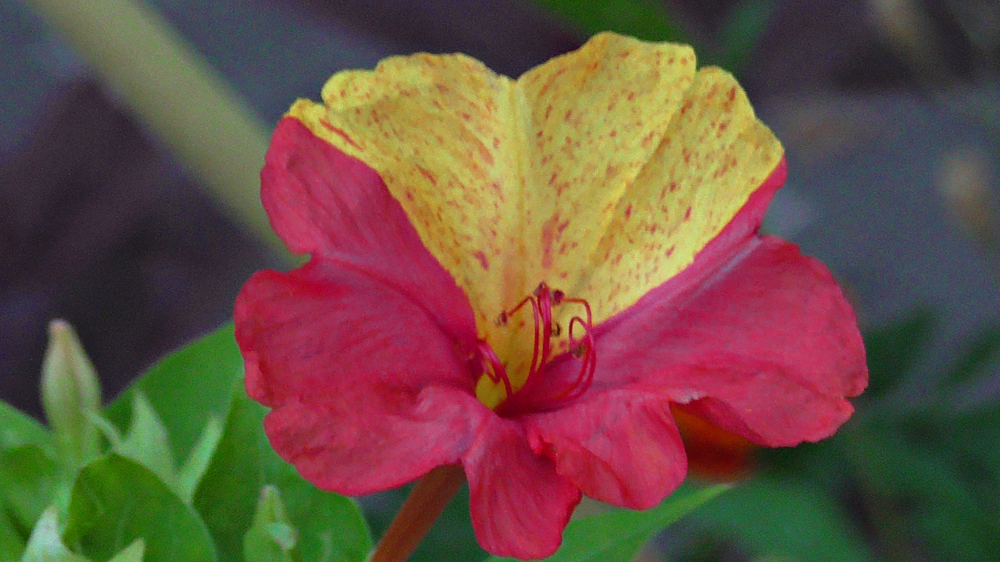 Blooming flower in the evening by evakalocsay