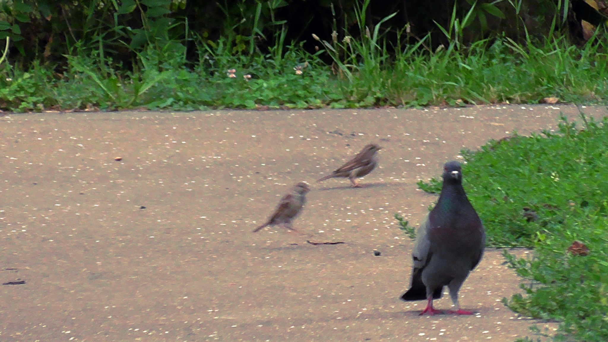 Pigeon, and two sparrows by evakalocsay