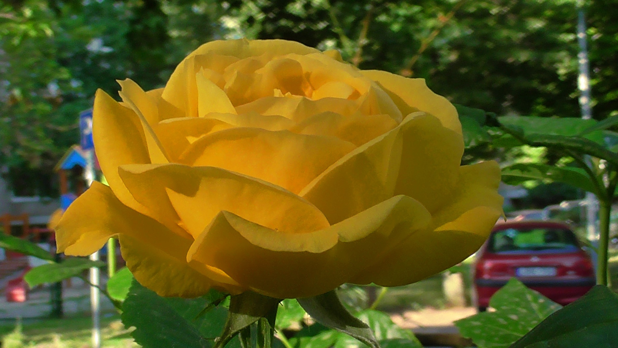 yellow rose by evakalocsay
