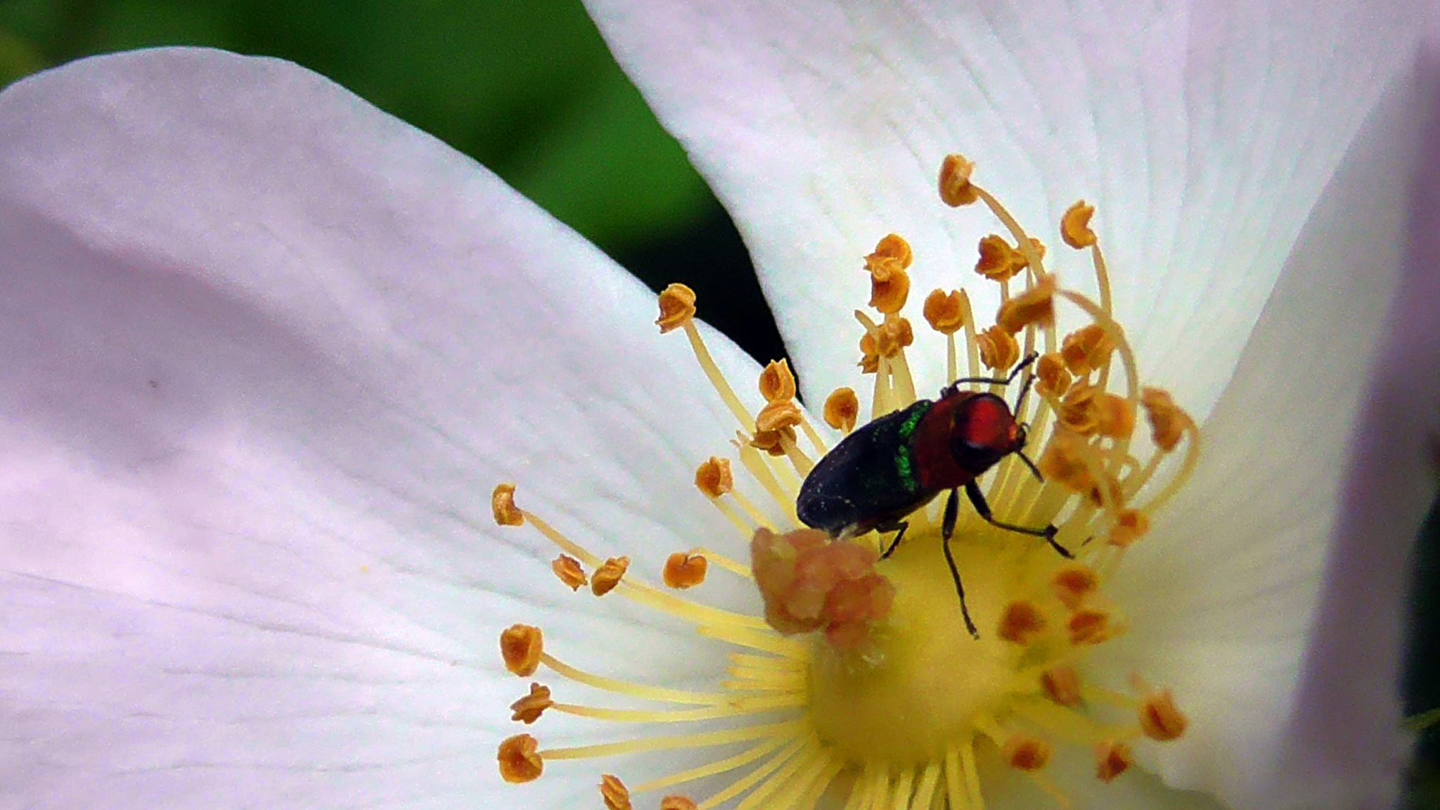 Wild rose and green beetle by evakalocsay