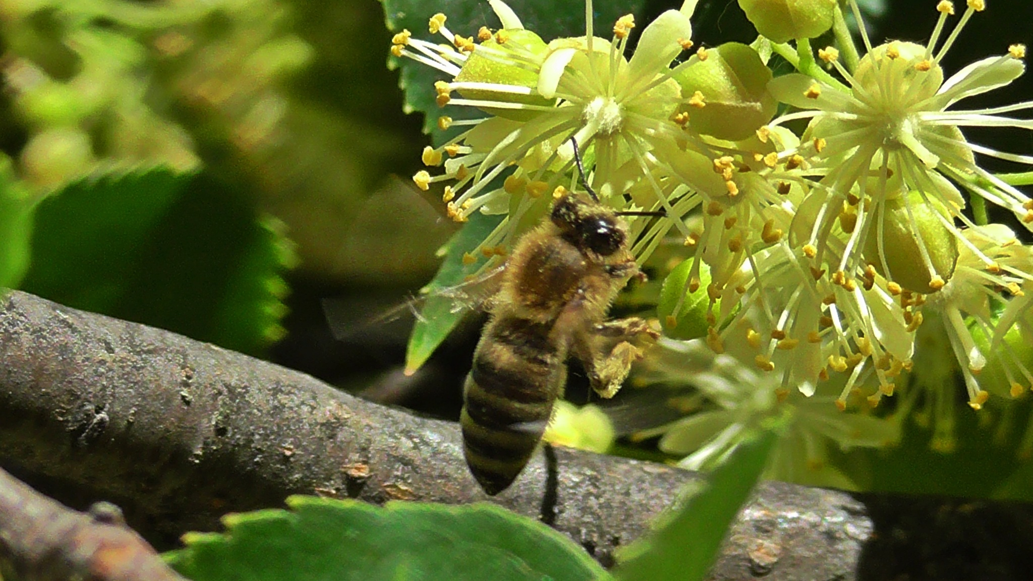 Lime flower, and bee by evakalocsay