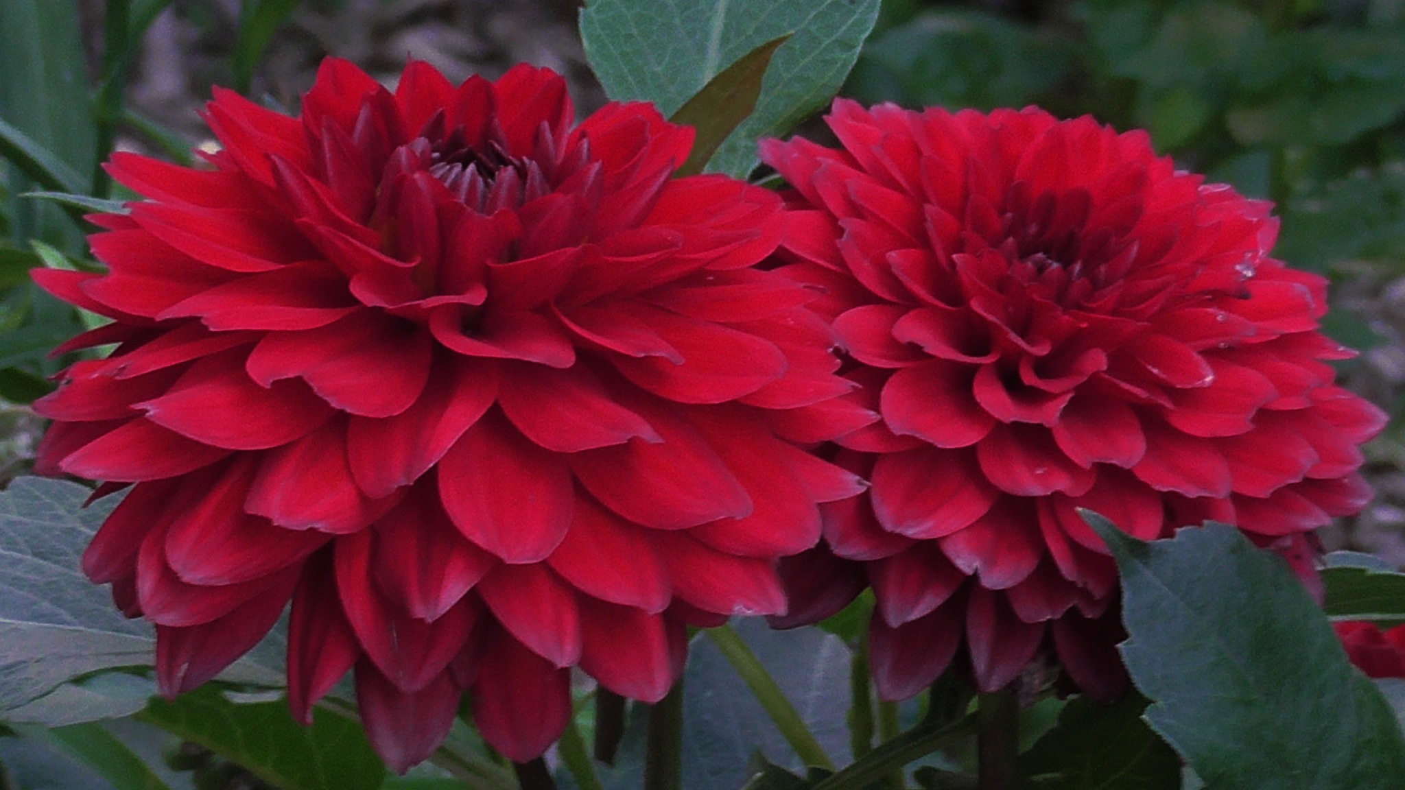 Red flowers by evakalocsay