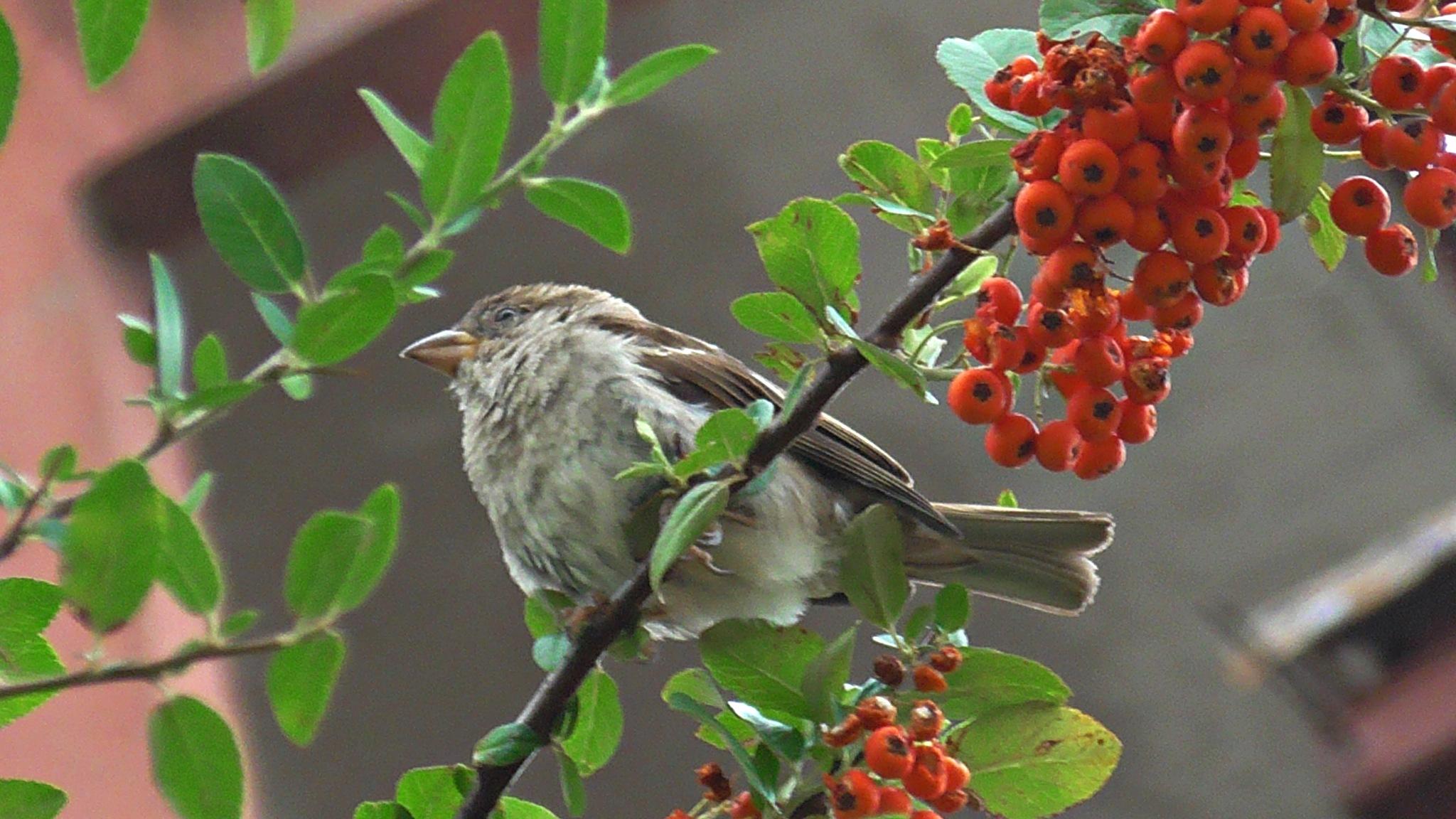 sparrow by evakalocsay