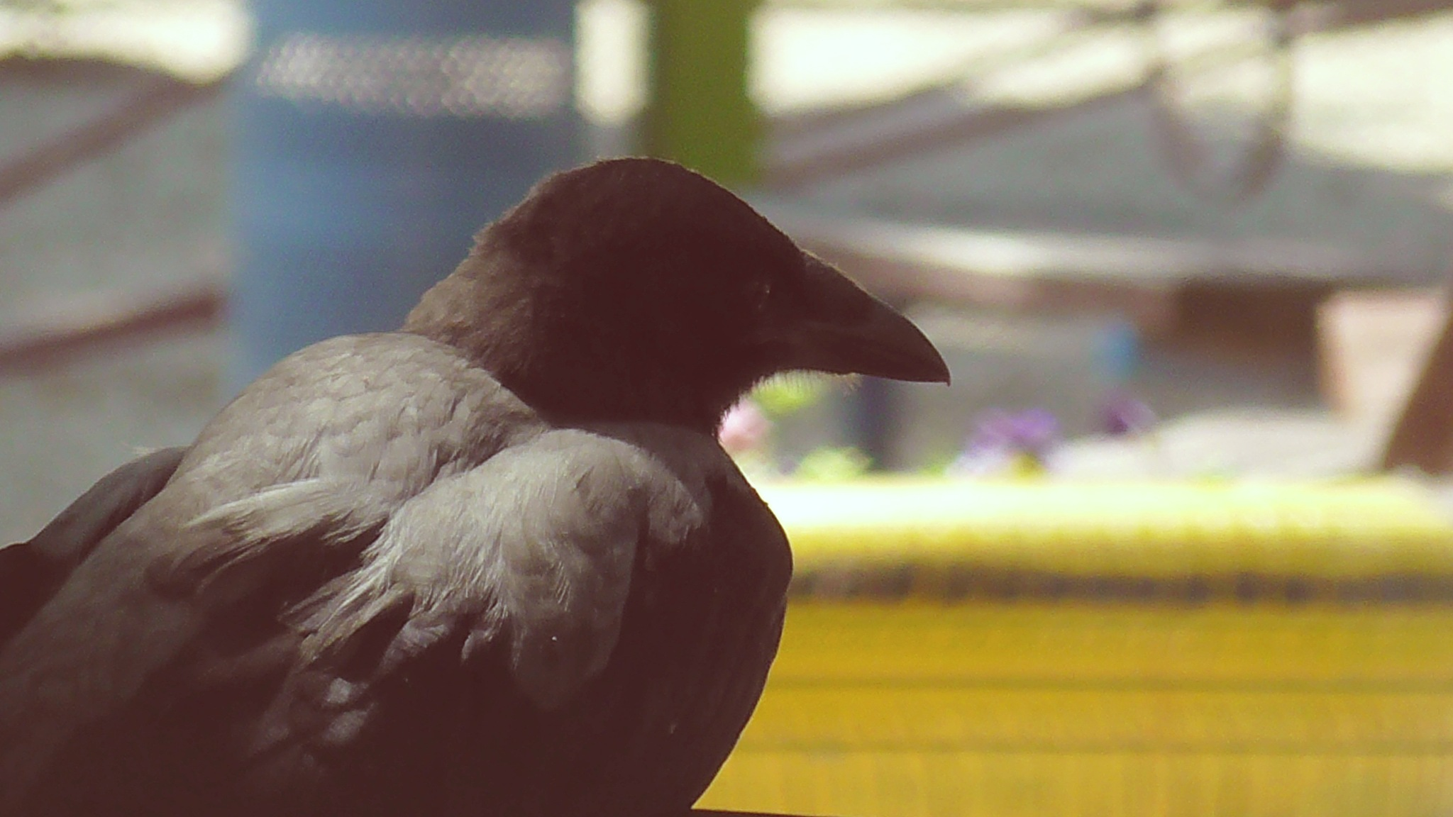 crow by evakalocsay