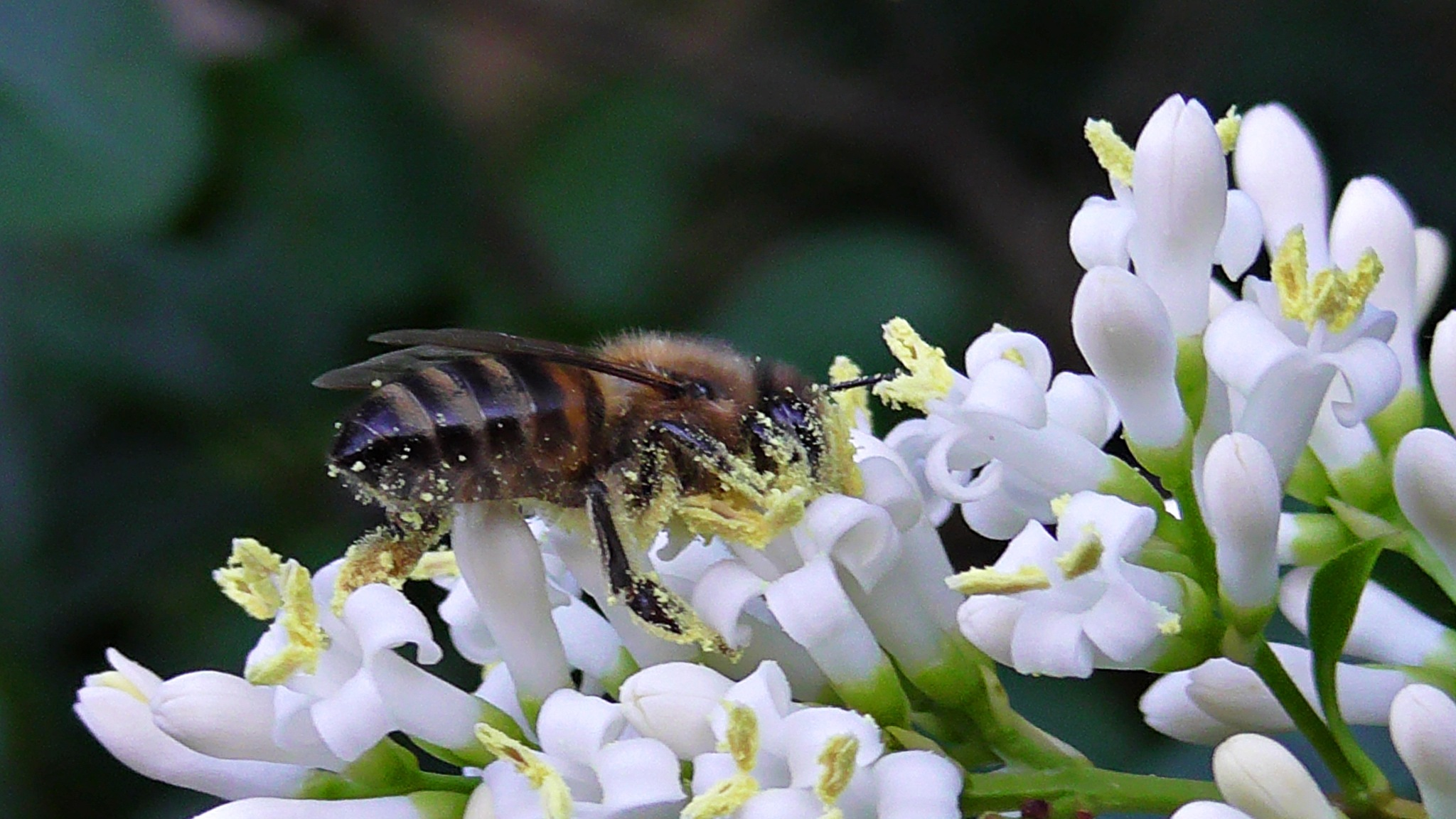 Bee and on white flowers by evakalocsay