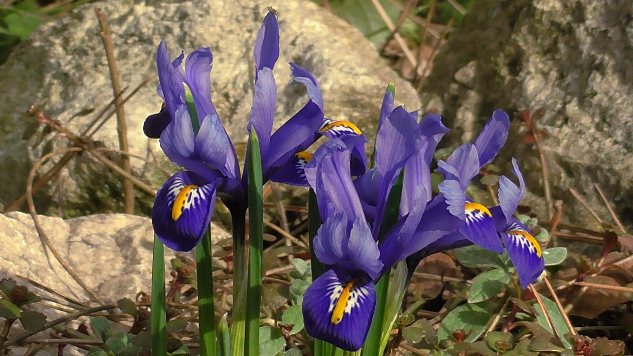 small iris. by evakalocsay