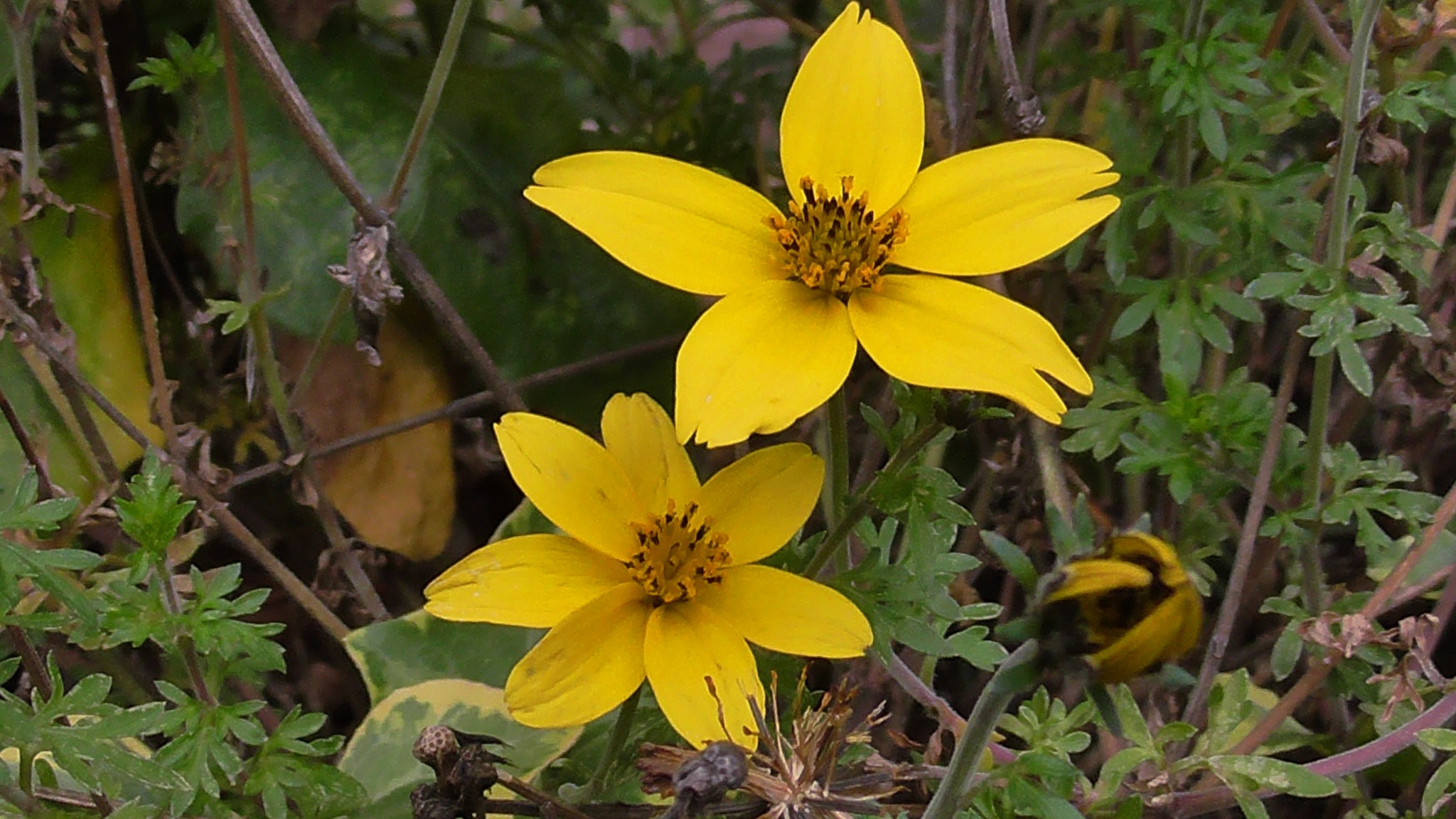 yellow flowers by evakalocsay