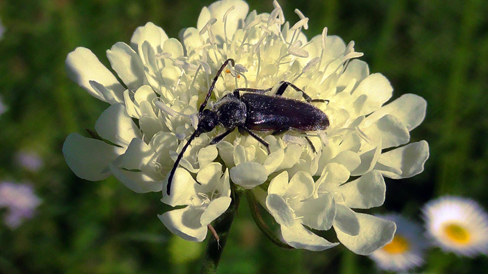 longhorn beetle by evakalocsay