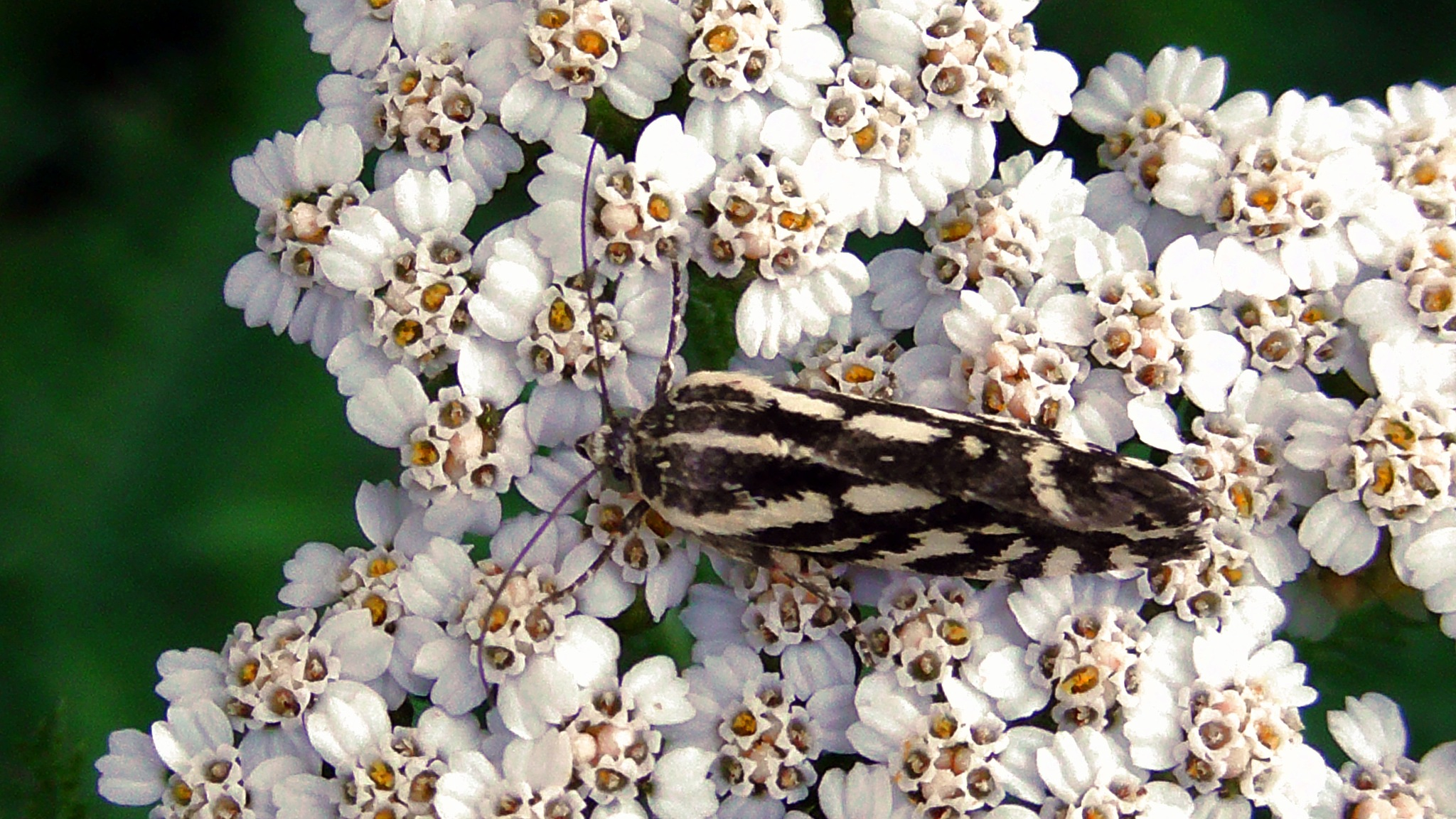 striped butterfly by evakalocsay