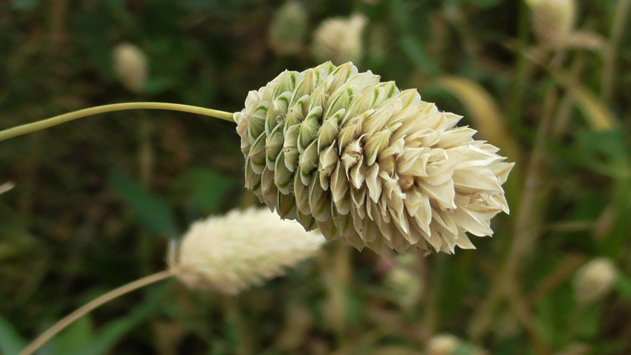 wildflower by evakalocsay