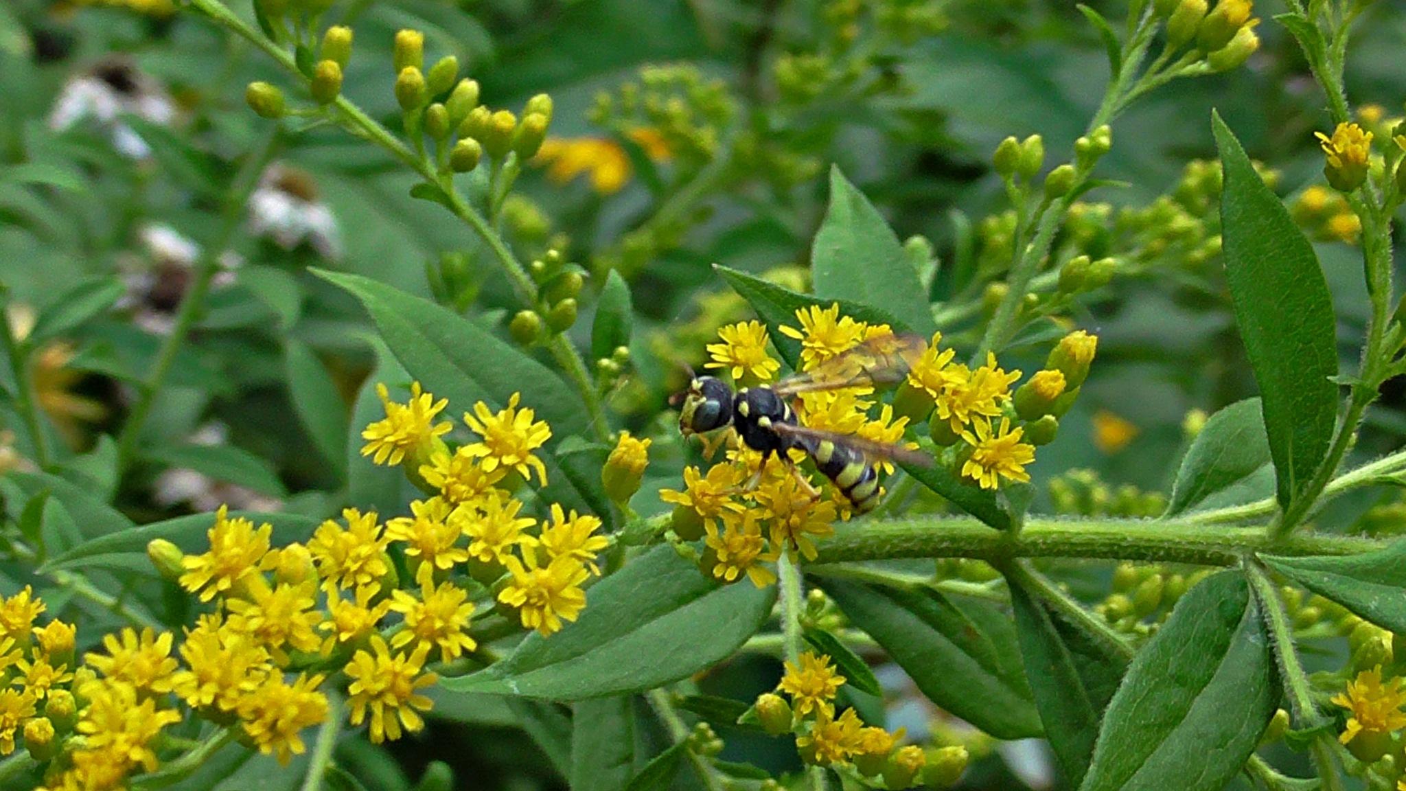 wasp by evakalocsay