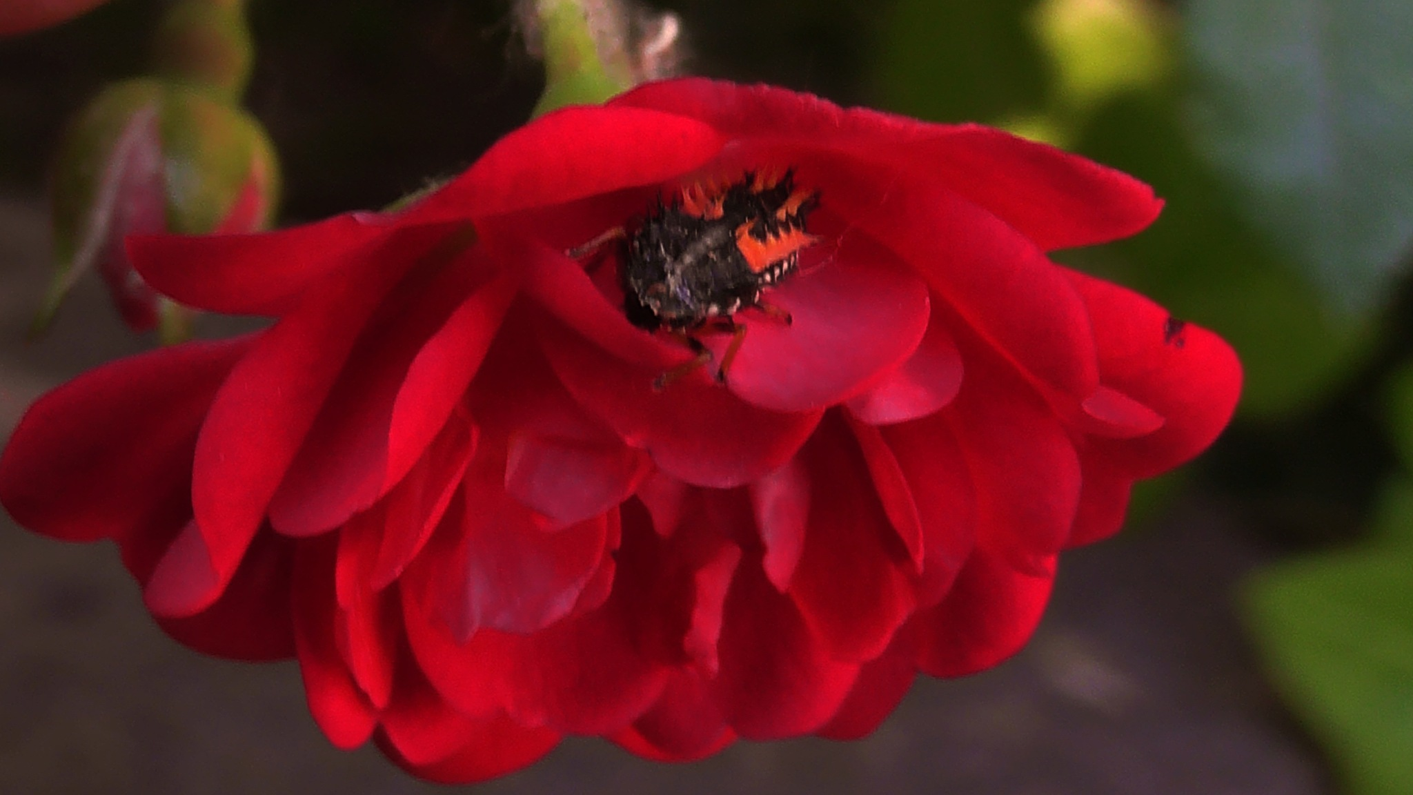 Beetle loves red roses by evakalocsay