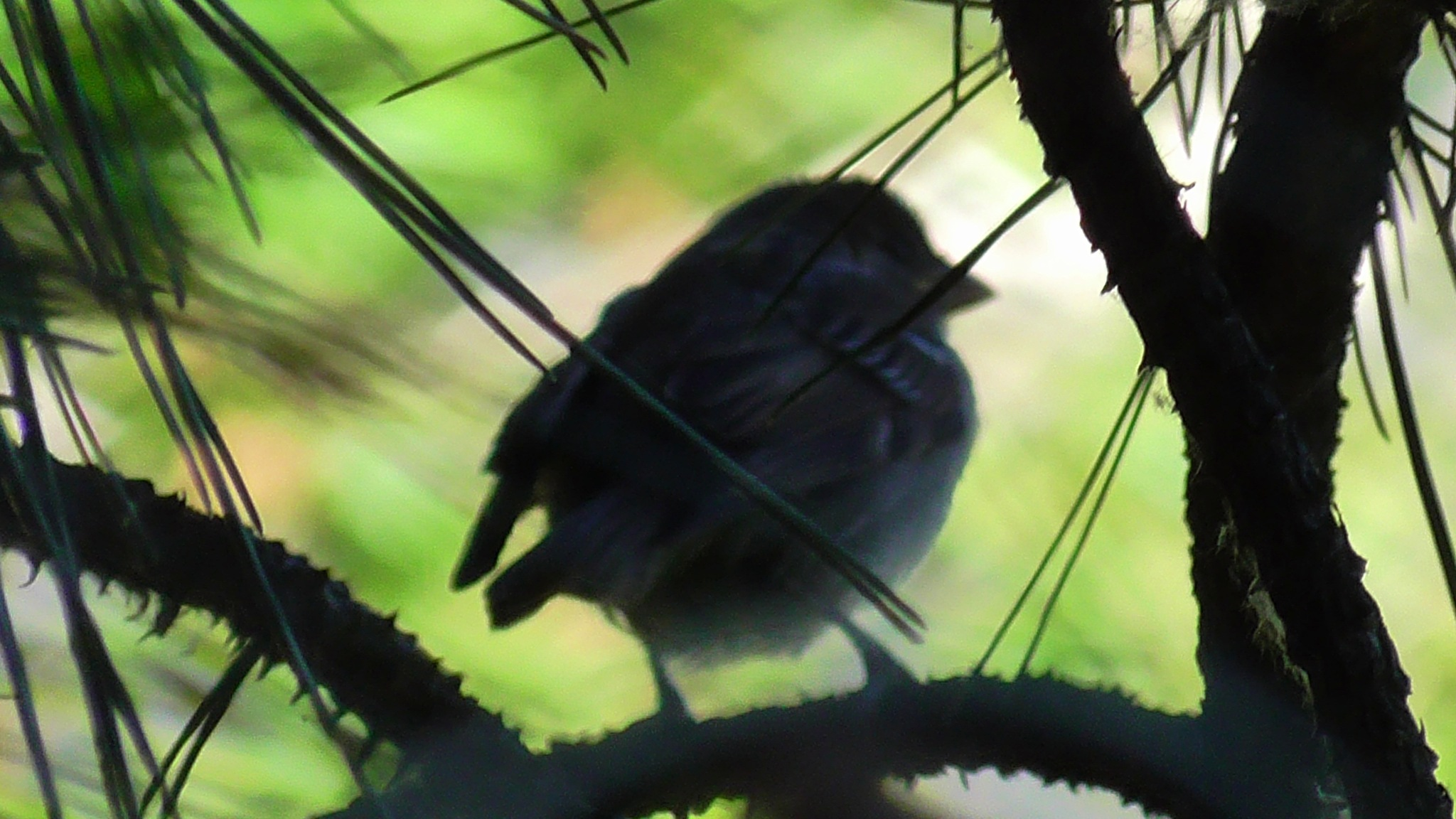 Sparrow silhouette by evakalocsay