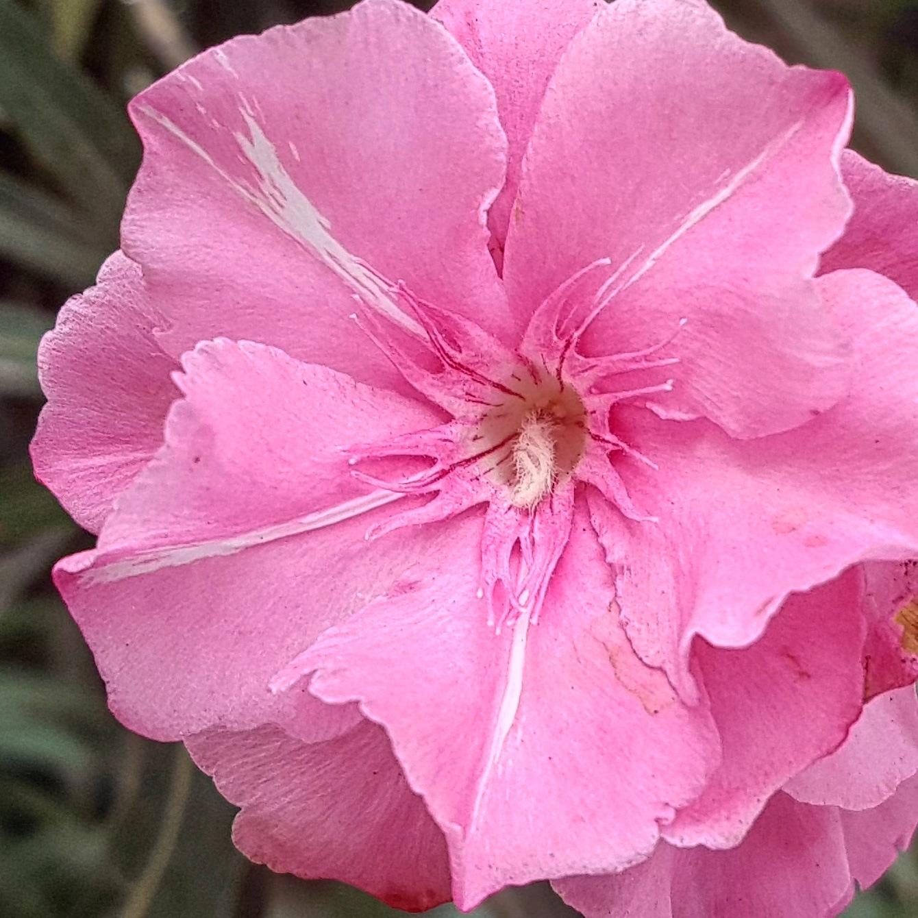 Pink by taherikambiz