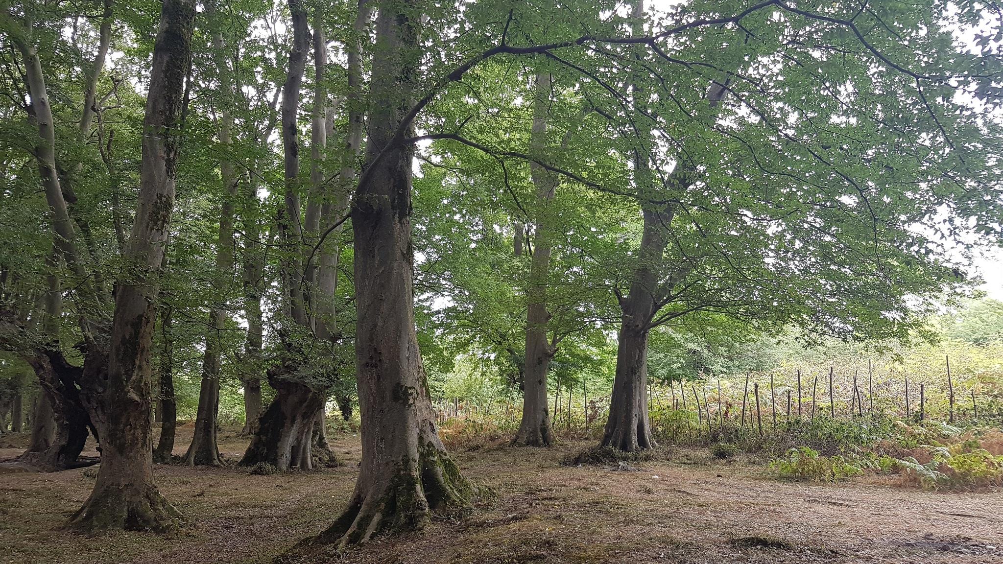 Zelkova trees by taherikambiz